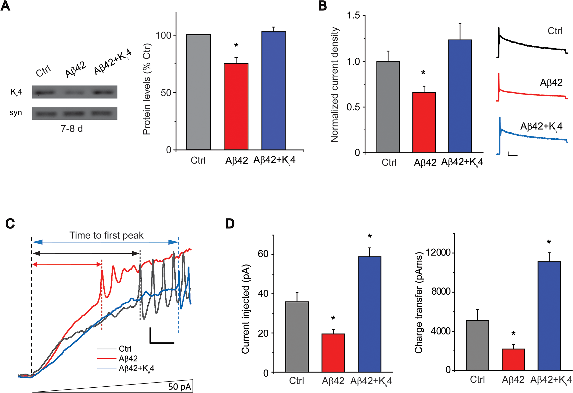 Transgenic over-expression of K<sub>v</sub>4 in Aβ42-expressing flies restores K<sub>v</sub>4 protein levels and normal excitability to neurons.