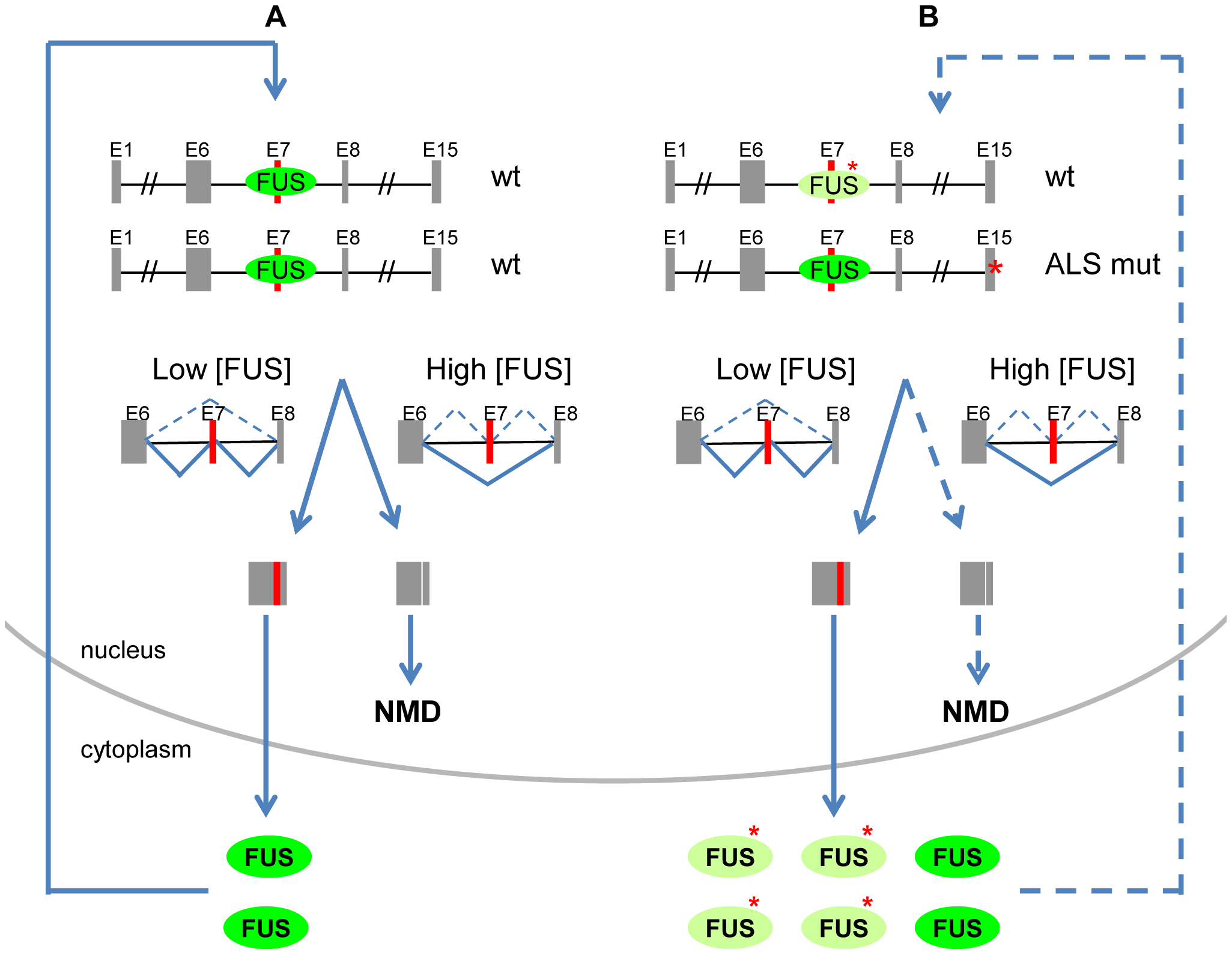Proposed model of FUS autoregulation and its contribution to ALS pathogenesis.