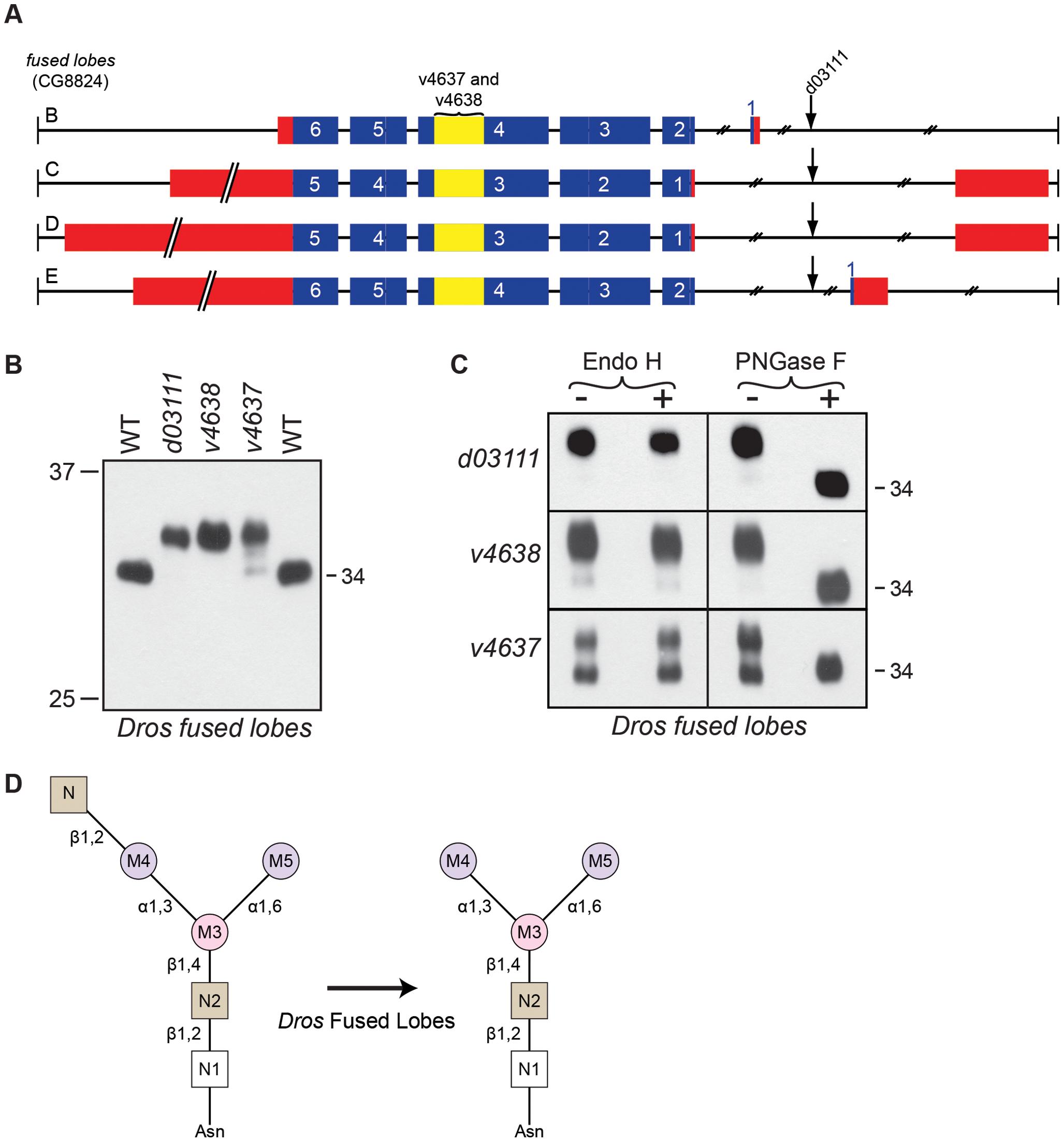 <i>Drosophila</i> Fdl is essential for Rh1 deglycosylation.