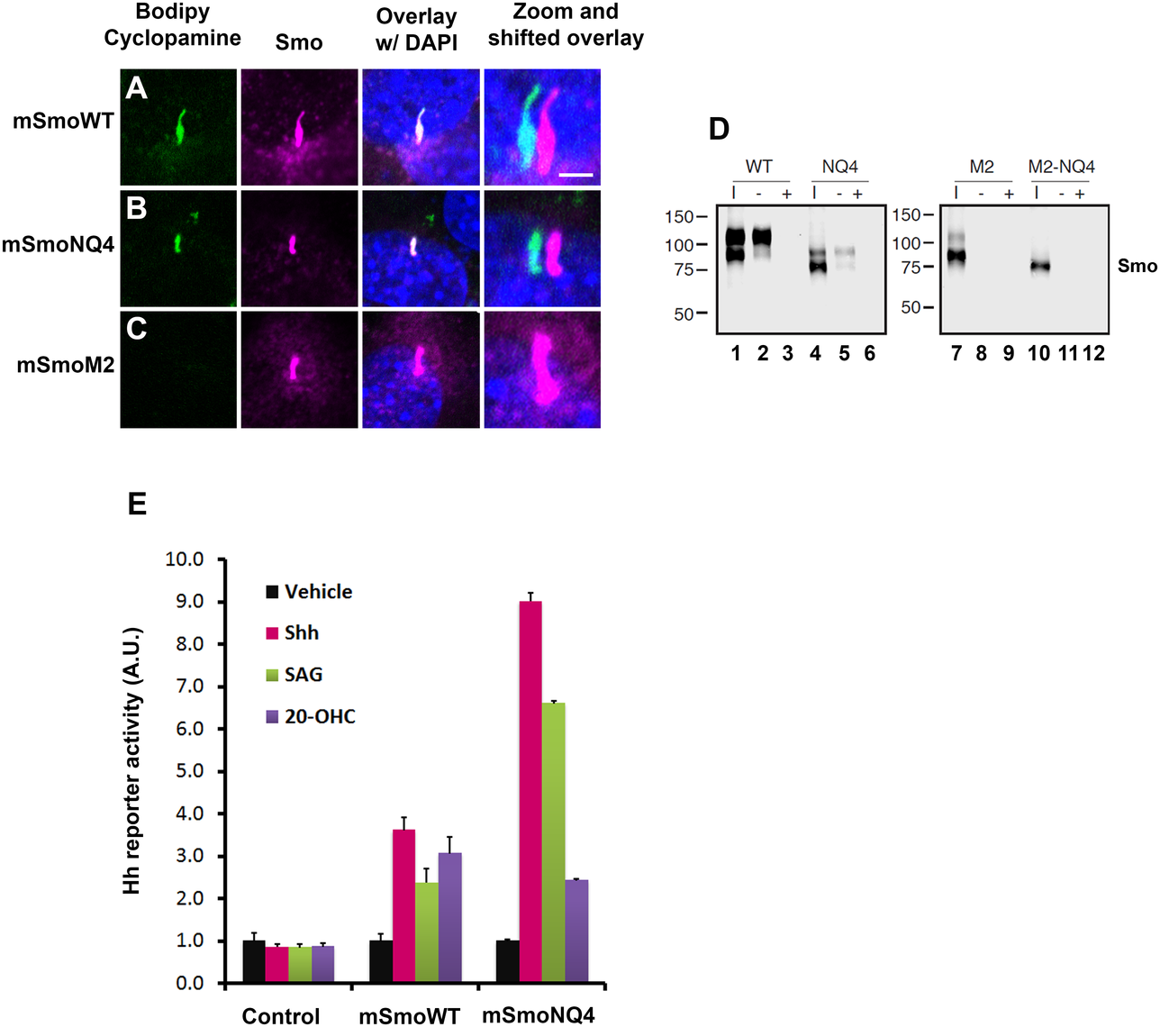 mSmoNQ4 binds ligands and activates canonical signaling.