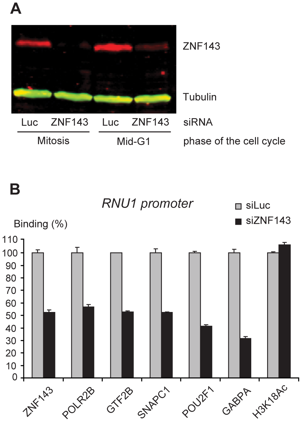 Depletion of endogenous ZNF143 reduces transcription factor recruitment on the U1 promoter in mid-G1.