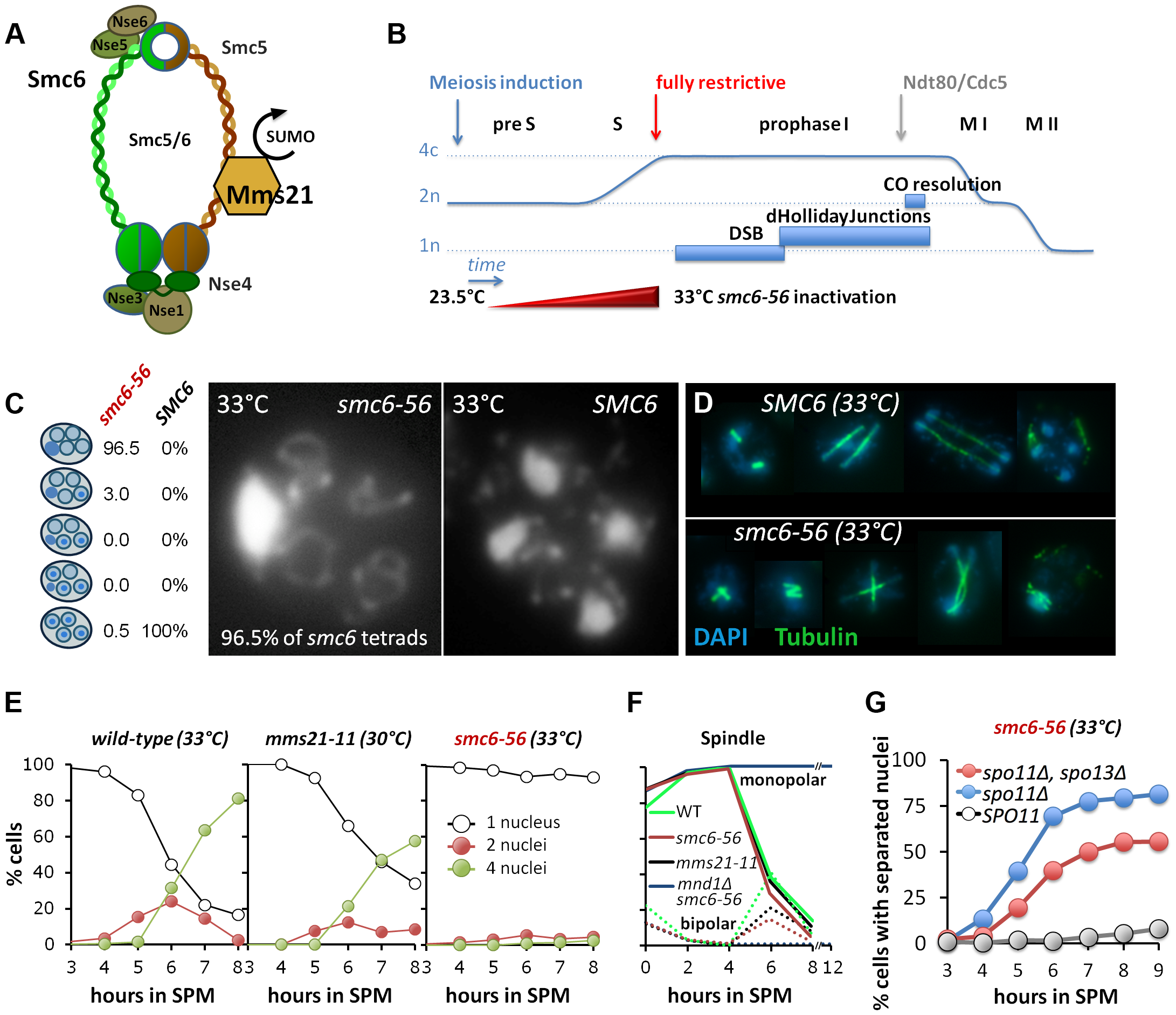Smc6, but not Mms21 SUMO ligase activity is required for chromosome segregation after meiotic recombination.