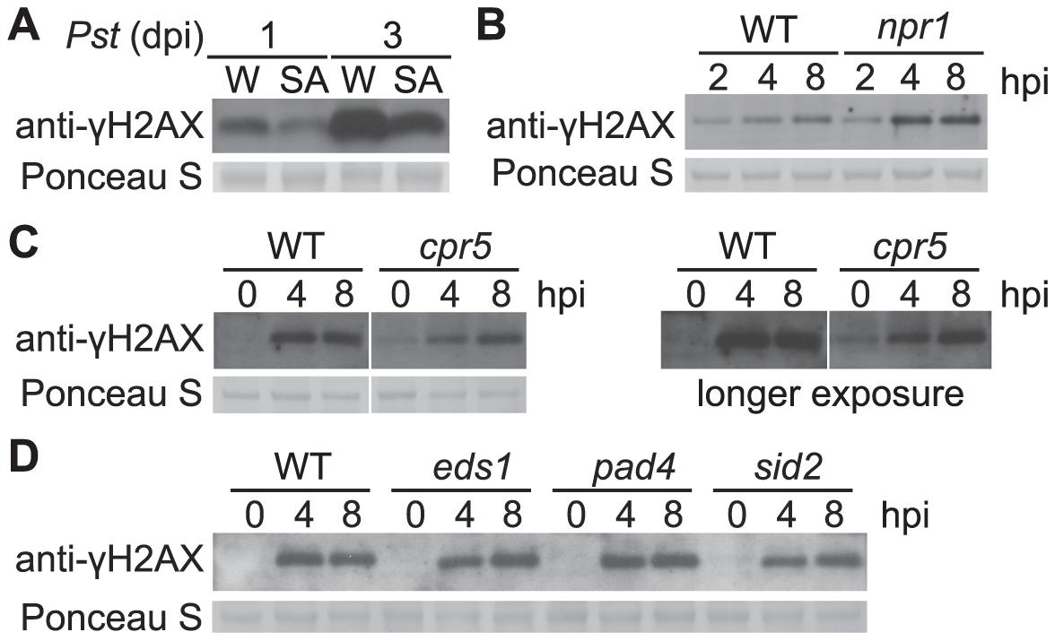 <i>Pst</i>-induced γ-H2AX accumulation during salicylic acid signaling and perception.