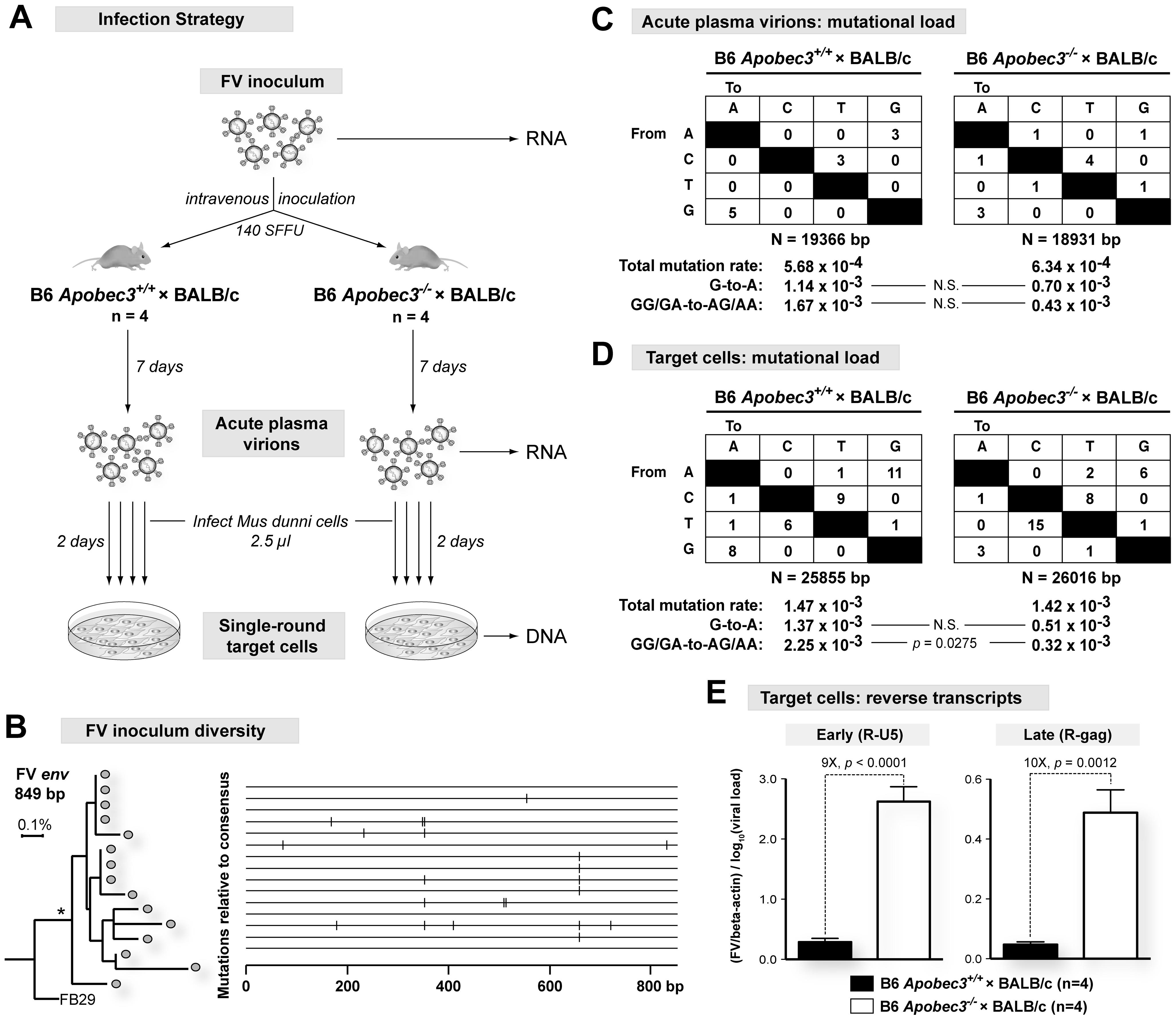 Mechanism of B6 <i>mA3</i> inhibition of plasma virion infectivity.