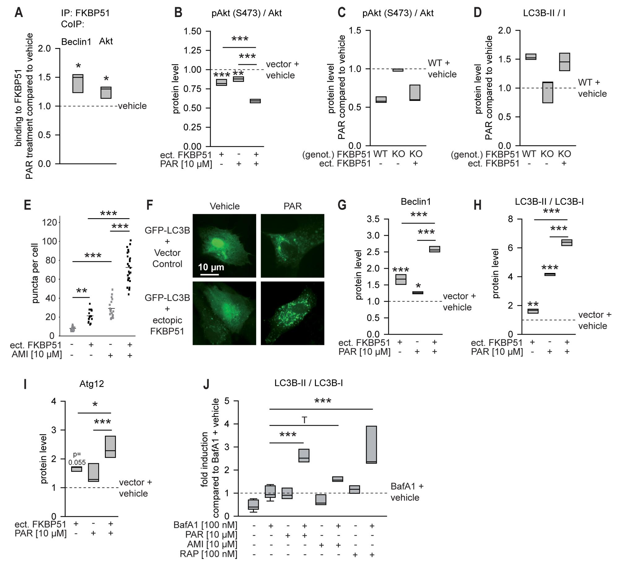 FKBP51 enhances cellular effects of antidepressants.
