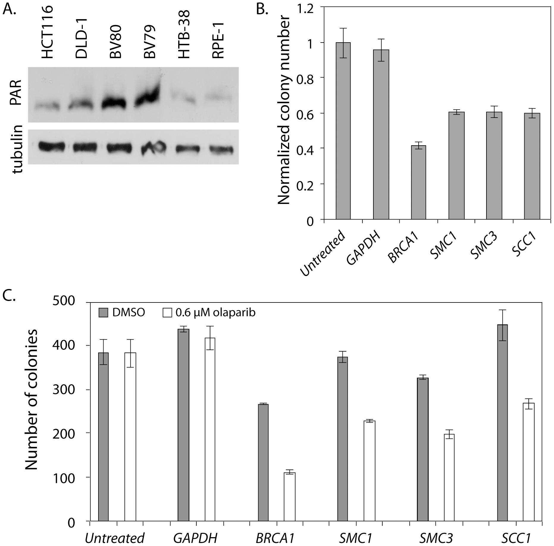 <i>SMC1</i> and <i>PARP</i> genetically interact in HTB-38 human cells.