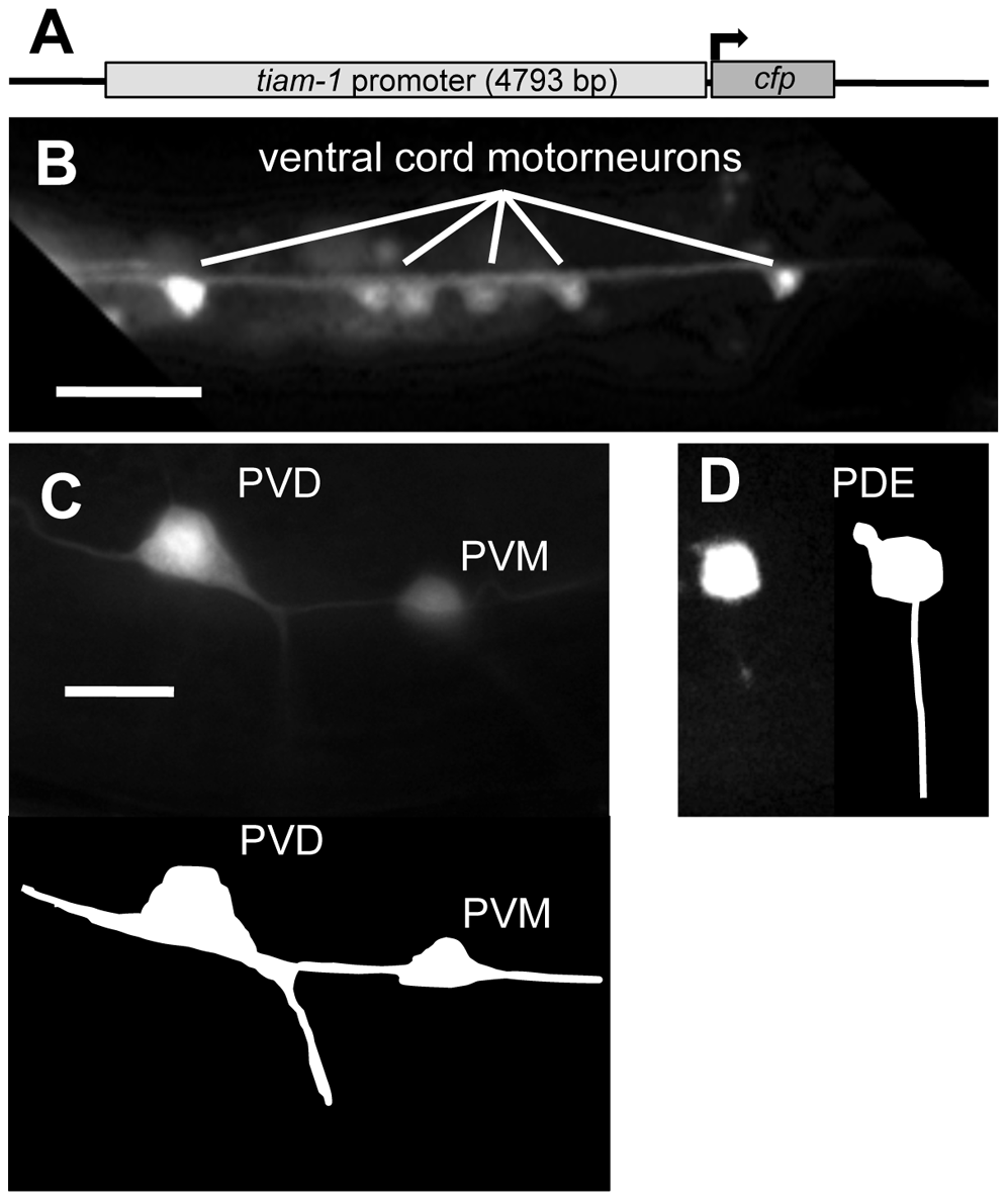The <i>tiam-1</i> promoter drives expression in the nervous system.