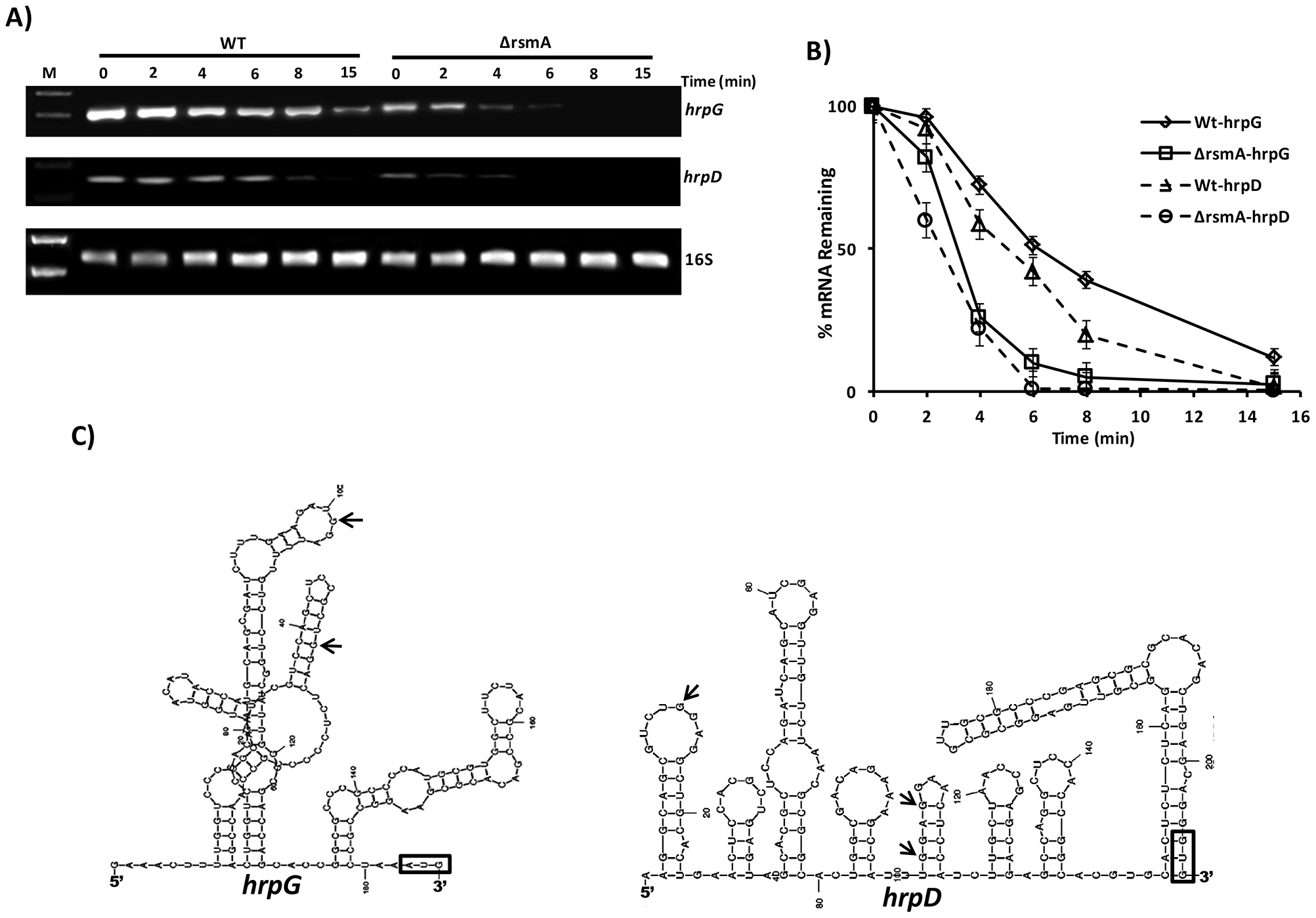 Analysis of <i>hrpG</i> and <i>hrpD</i> mRNA stability in the wild-type and <i>rsmA</i> mutant strains by RT-PCR.