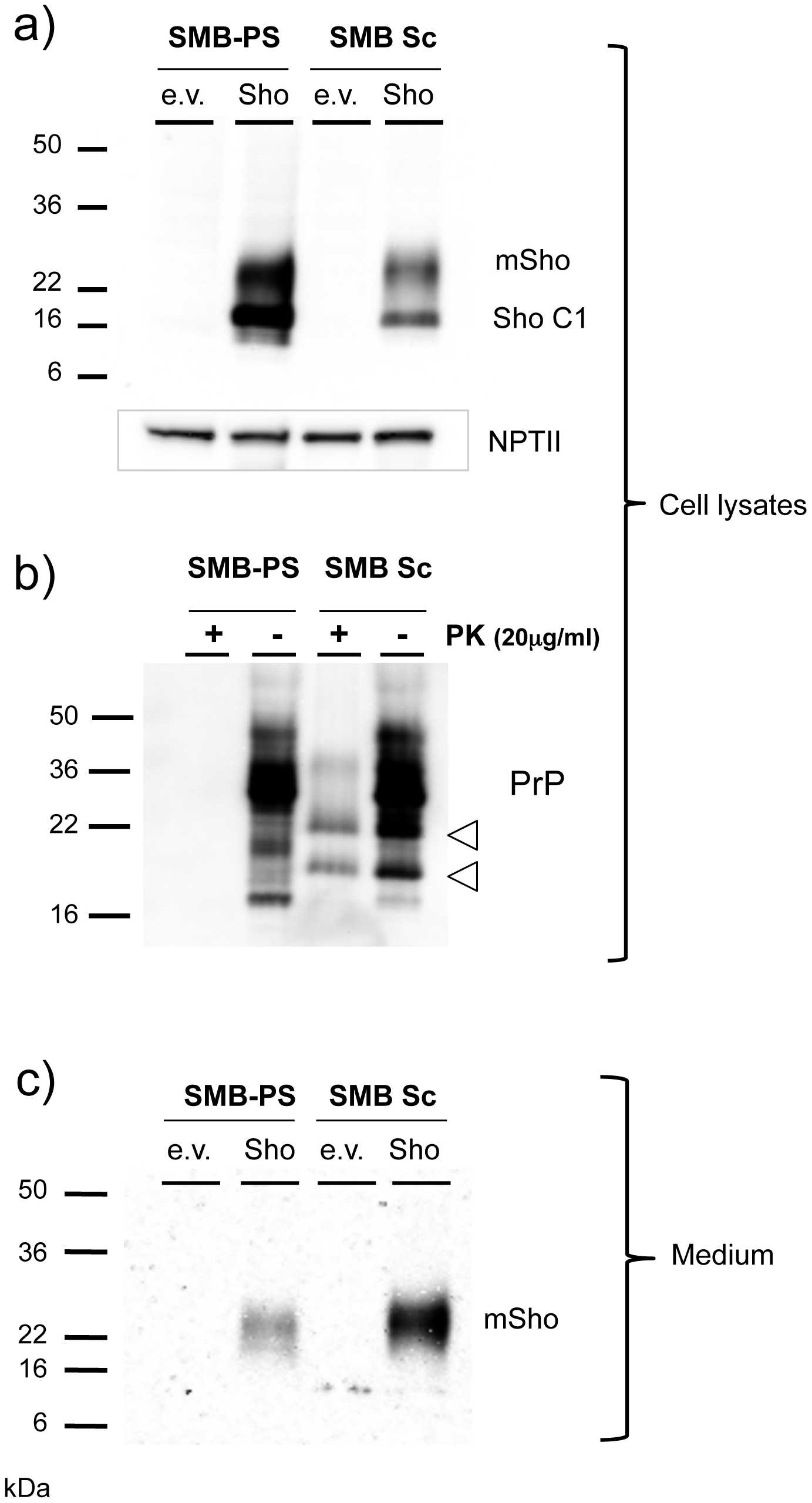 Sho protein in chronically infected SMB cells.