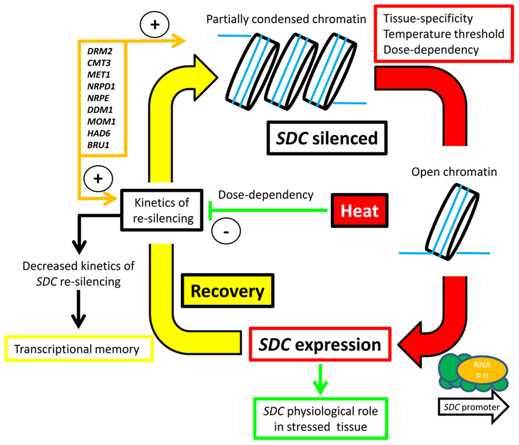 Hypothesized silence/de-silence loop model showing the different steps of transcriptional epigenetic control in the heat-induced expression of the <i>SDC</i> gene.