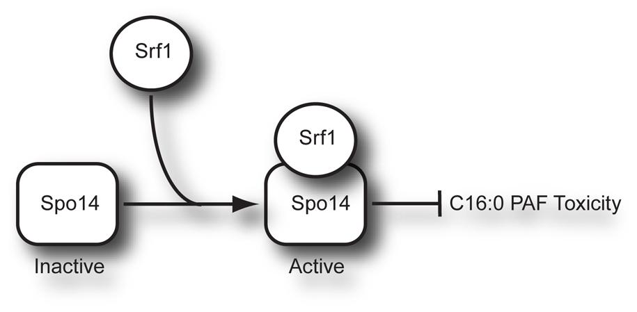 Model of Srf1 regulation of Spo14 activity in mitotic cells.