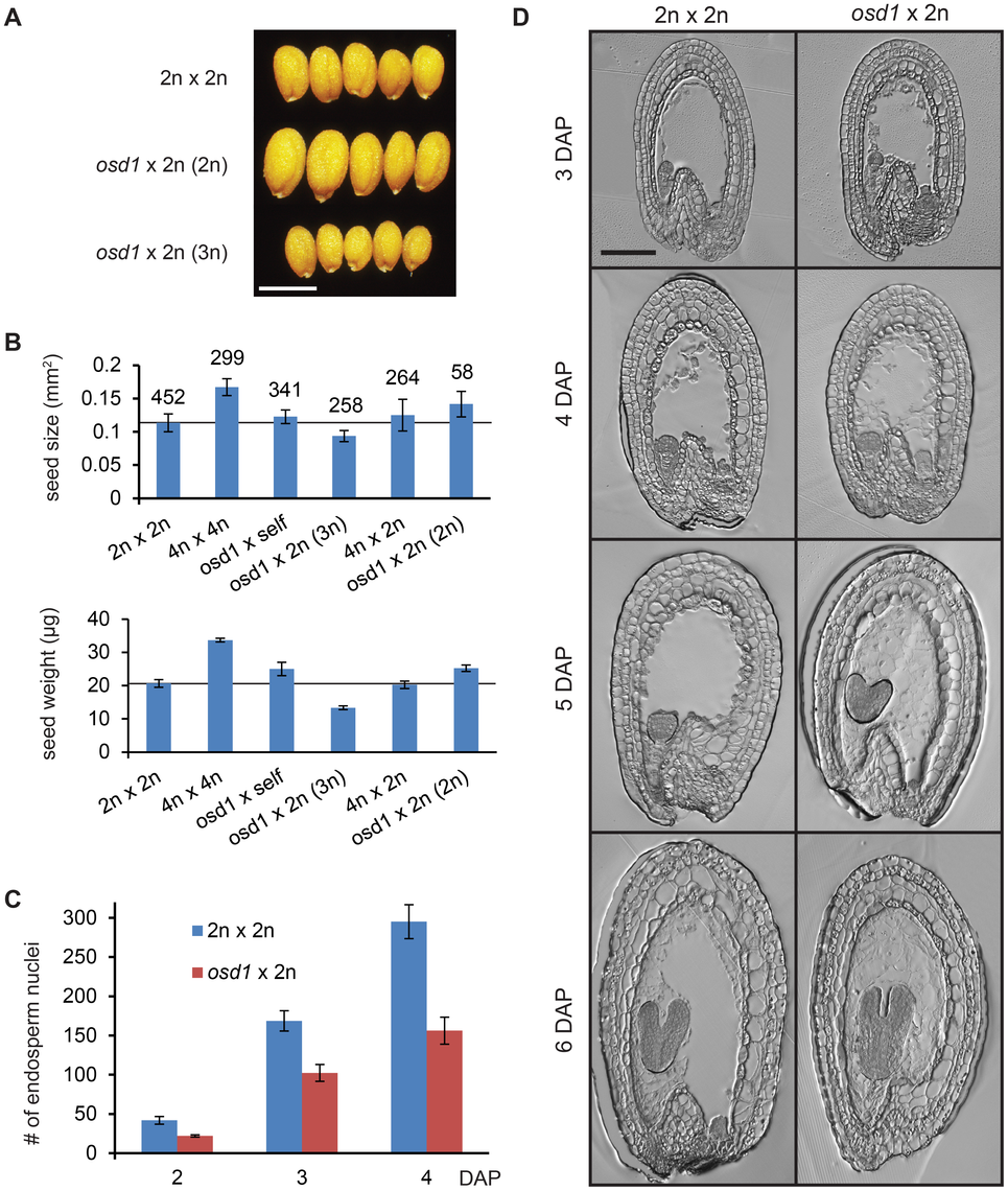Seeds Derived from Crosses <i>osd1</i>×2n Mimic the Effect of Maternal Excess Interploidy Hybridizations.