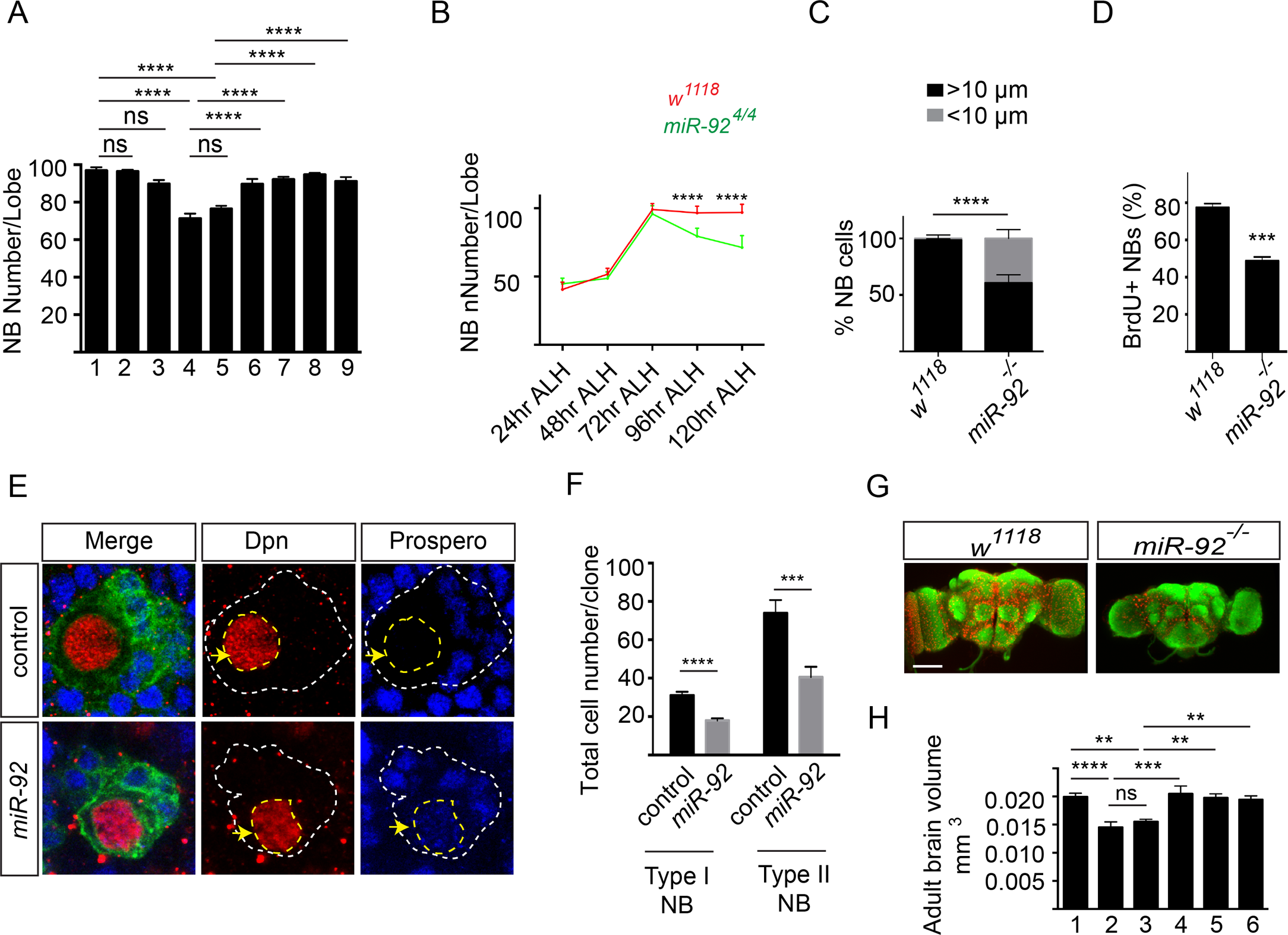 miR-92a and miR-92b regulate neuroblast self-renewal by inhibiting premature differentiation.