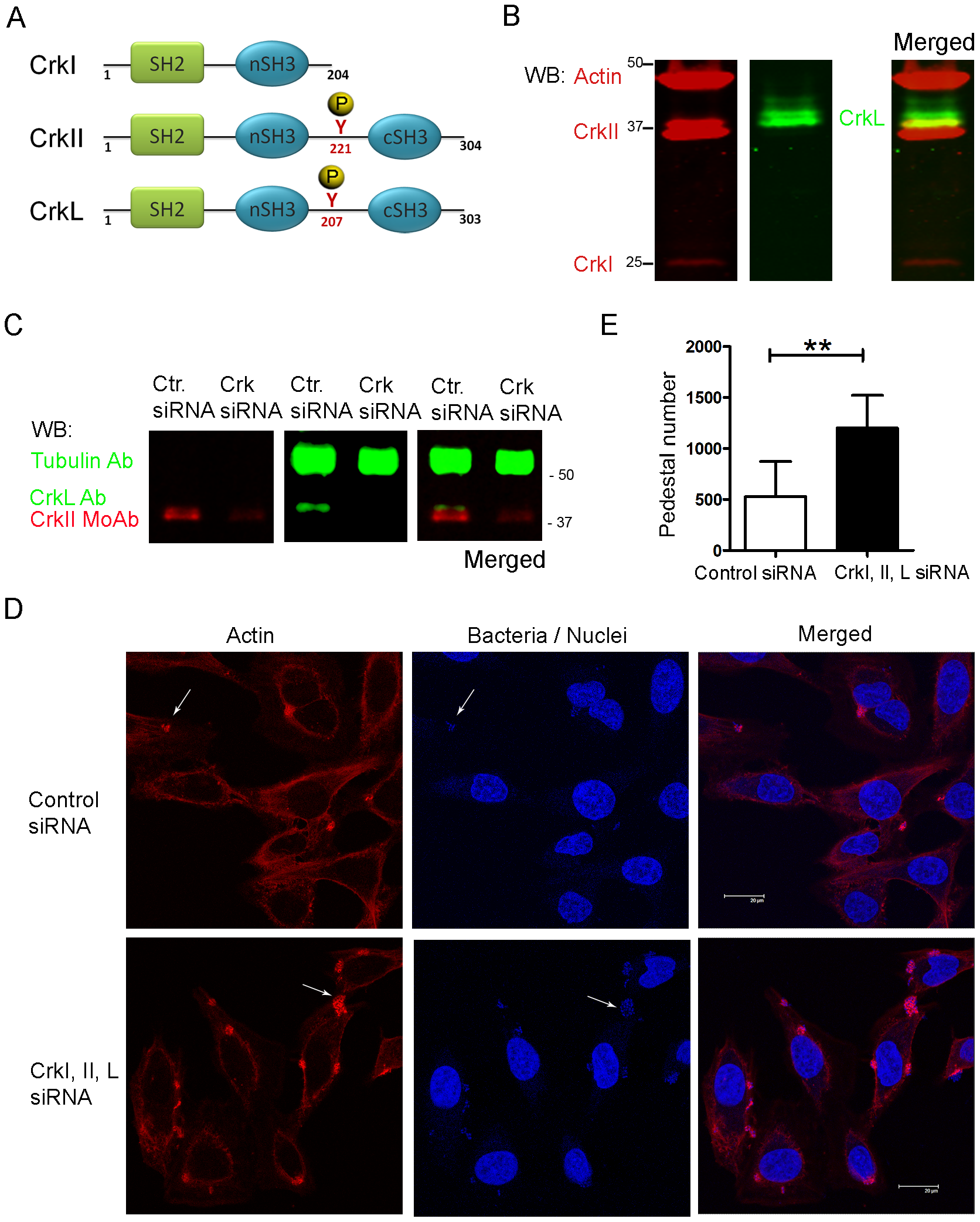 Pedestal formation in HeLa cells treated with siRNA to reduce CrkI/II and CrkL expression.