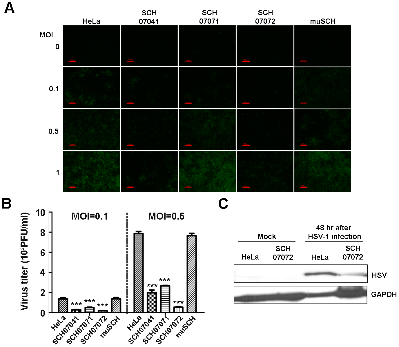 3D8 scFv expression in transgenic HeLa cells confers resistance to HSV infection.