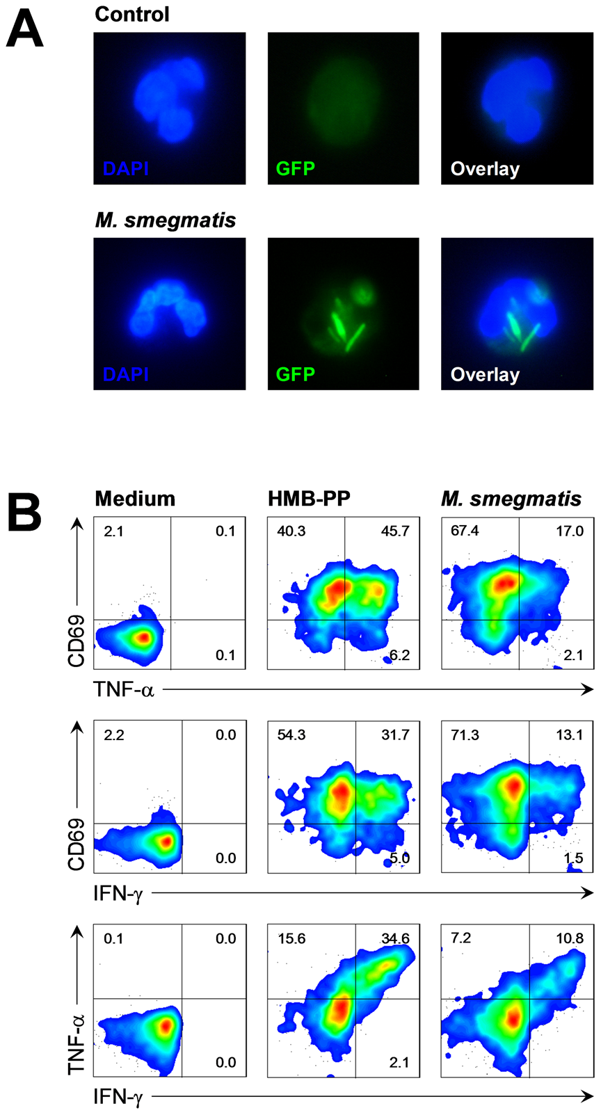 Vγ9/Vδ2 T cells respond to bacteria upon phagocytosis by neutrophils.