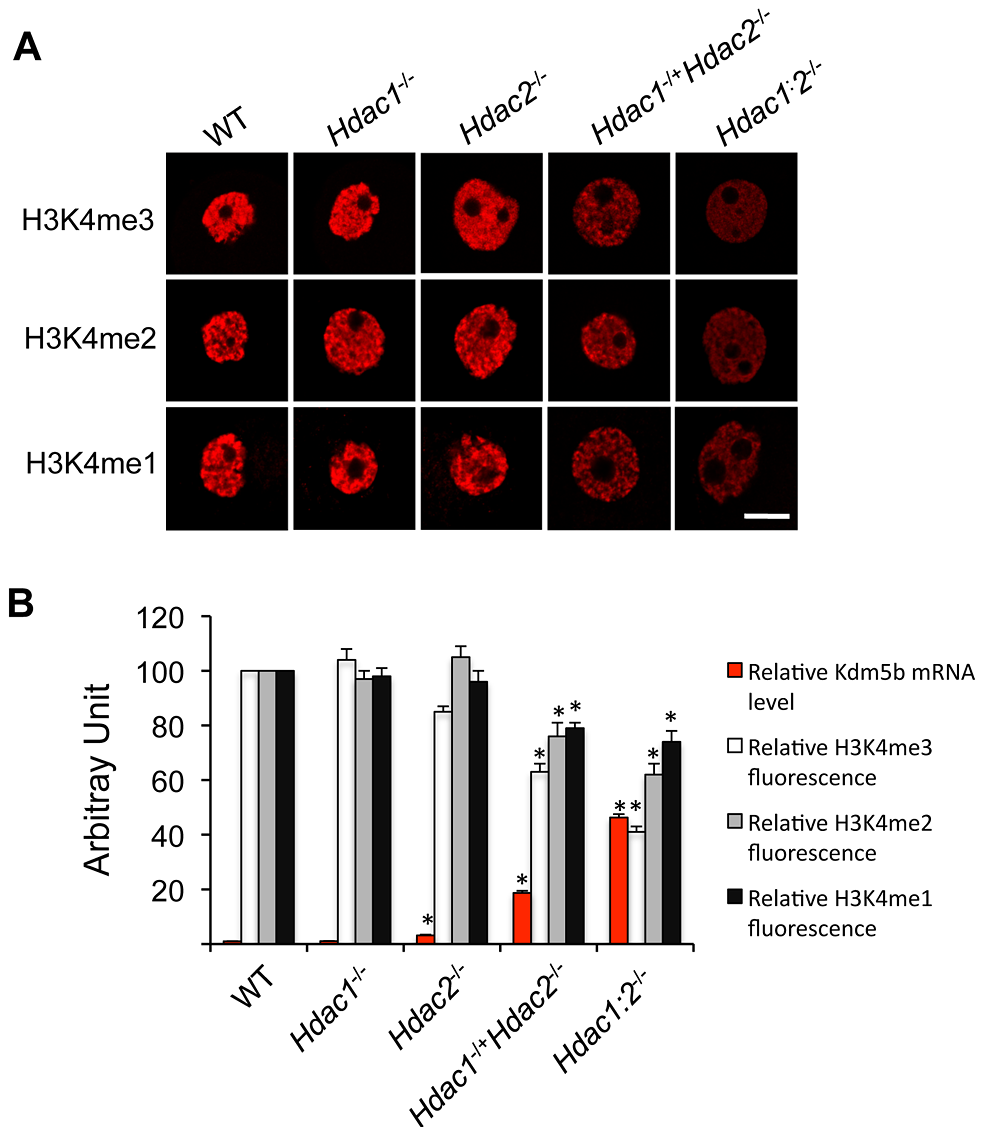 Loss of HDAC1/2 leads to H3K4me1-3 demethylation and up-regulation of KDM5B.