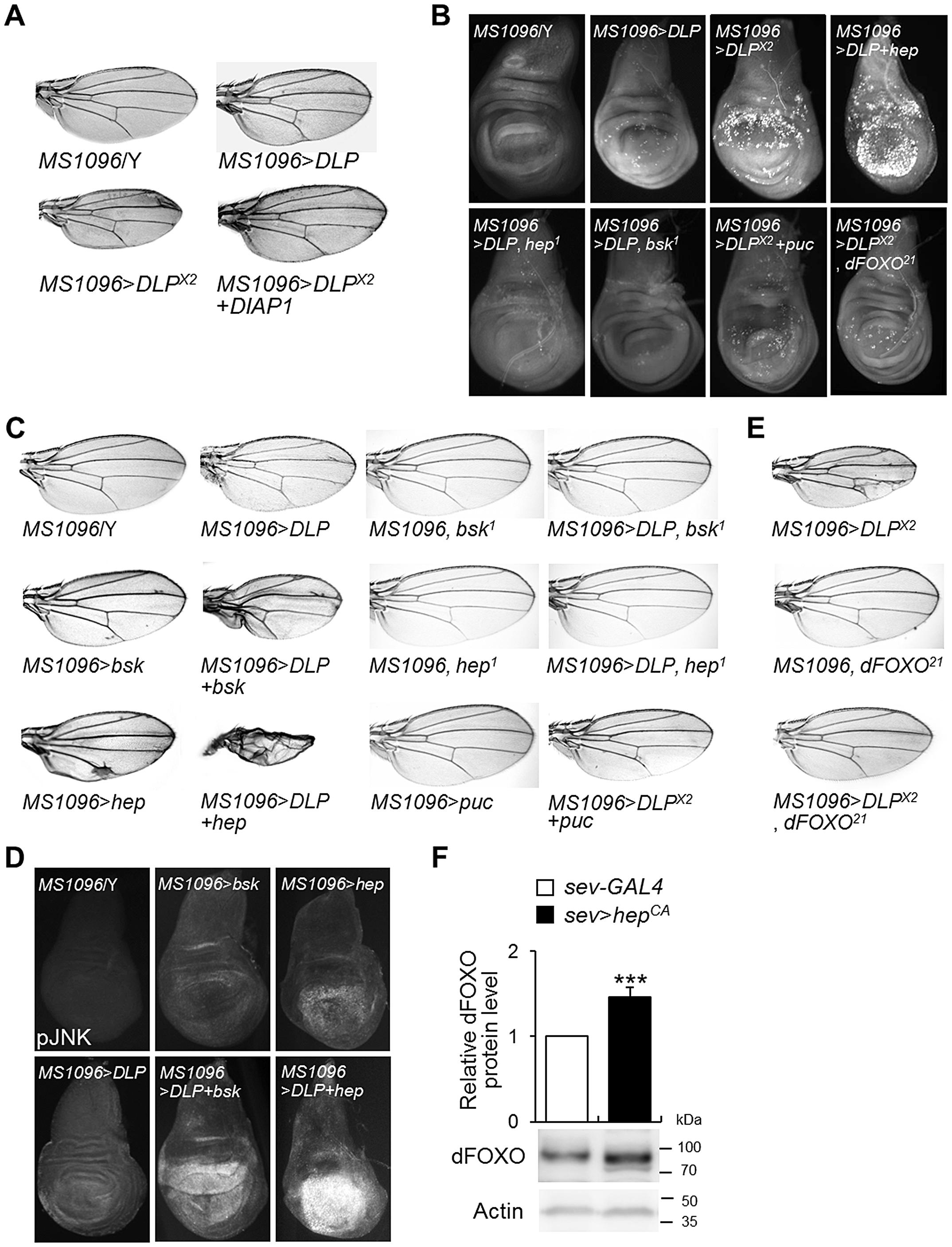 DLP activates apoptosis and the JNK/dFOXO signaling pathway.