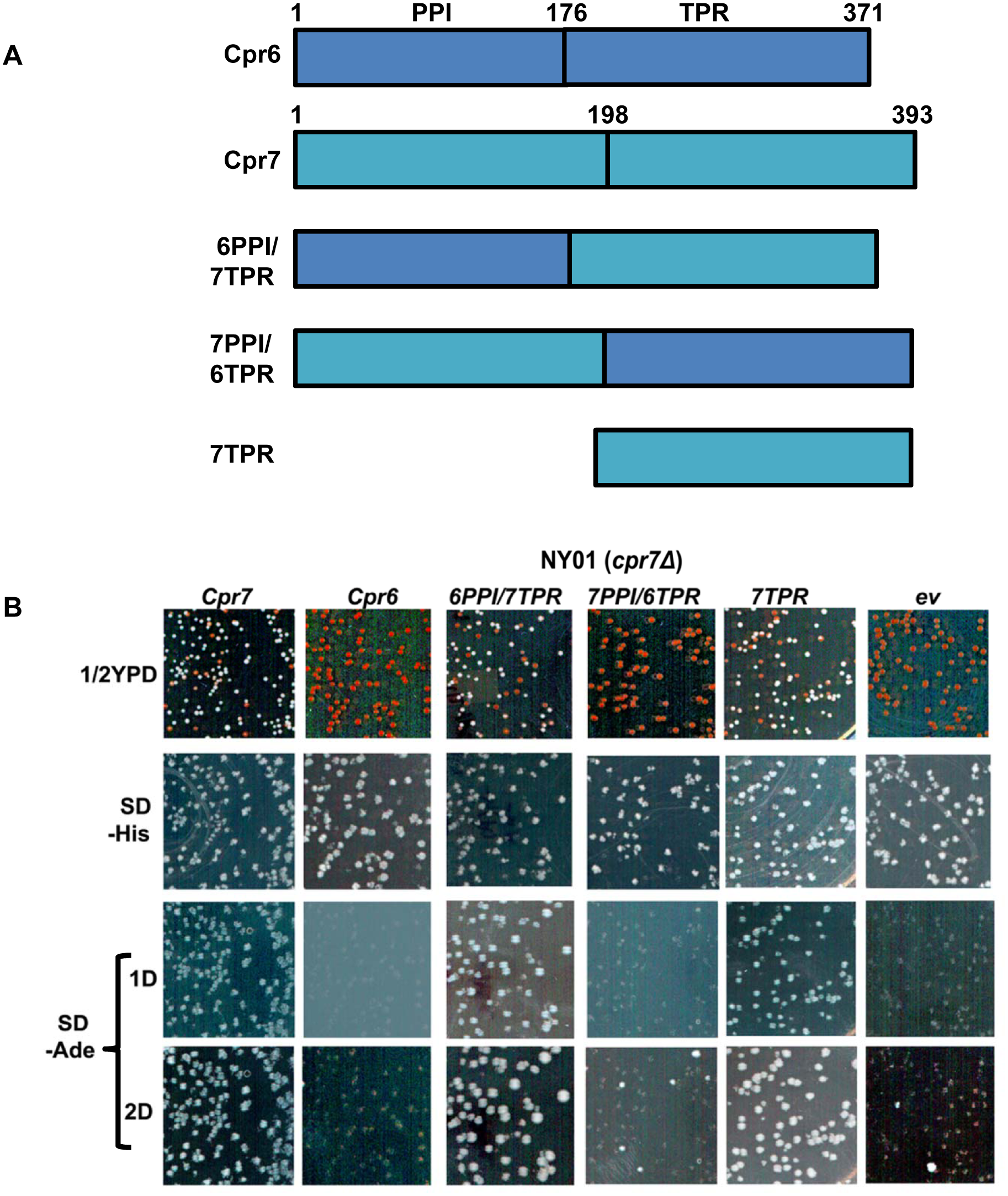 Cpr7 tetratricopeptide domain is important for [URE3] prion propagation.