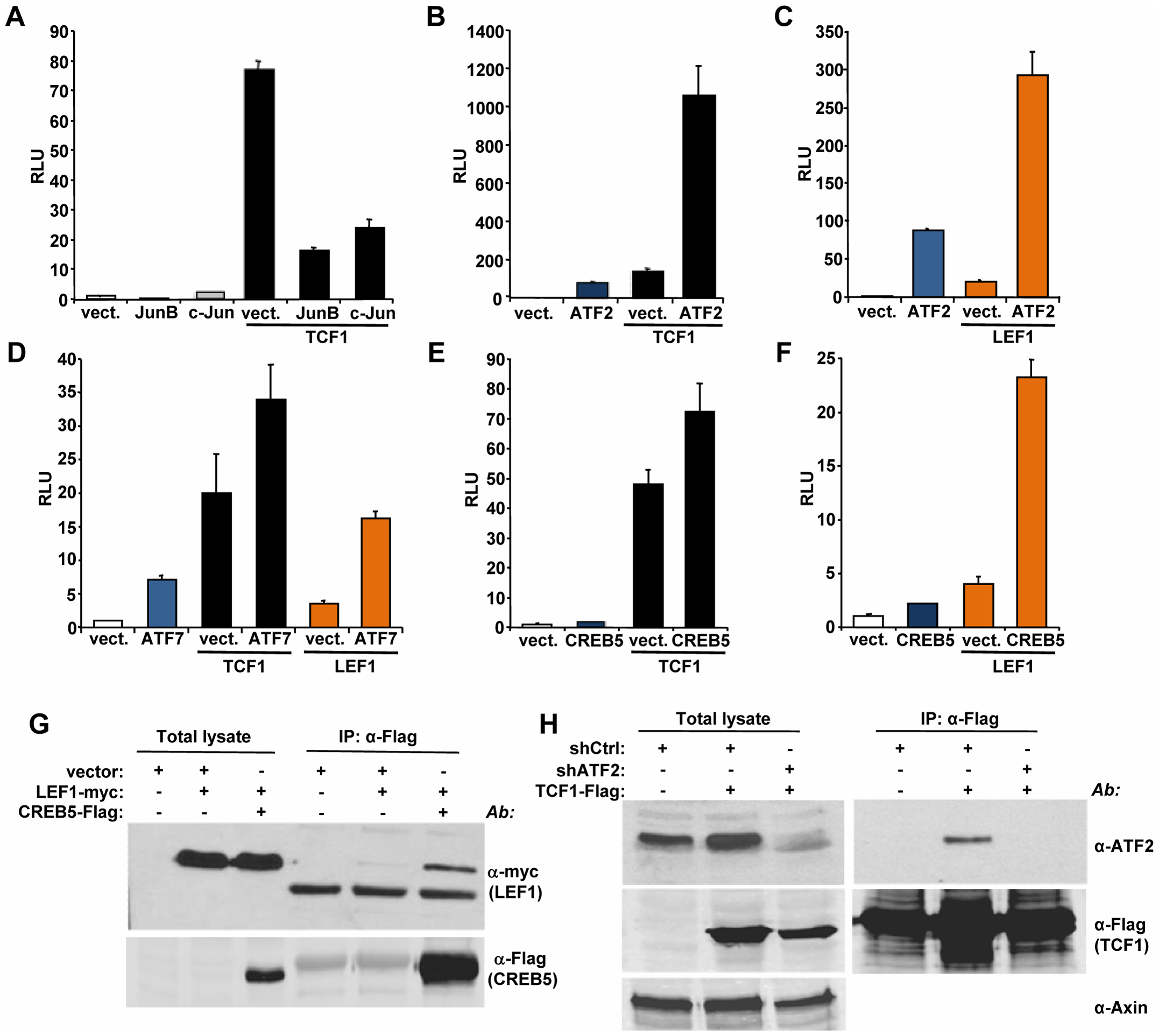 ATF2 transcription factors cooperate with TCF1/LEF1 to stimulate TCF/LEF activity.