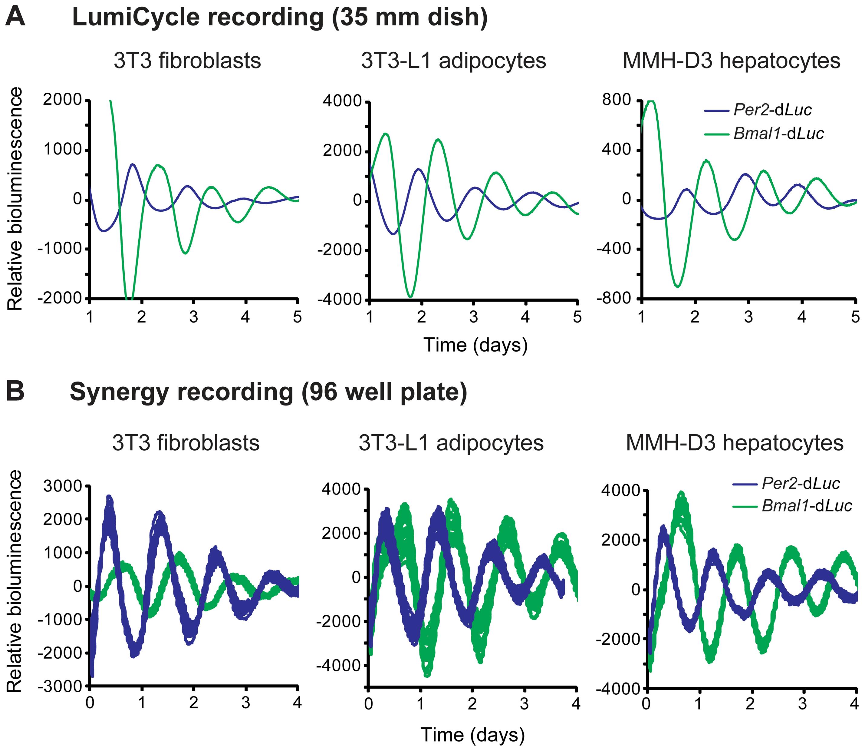Fibroblasts, adipocytes, and hepatocytes display bioluminescence rhythms.