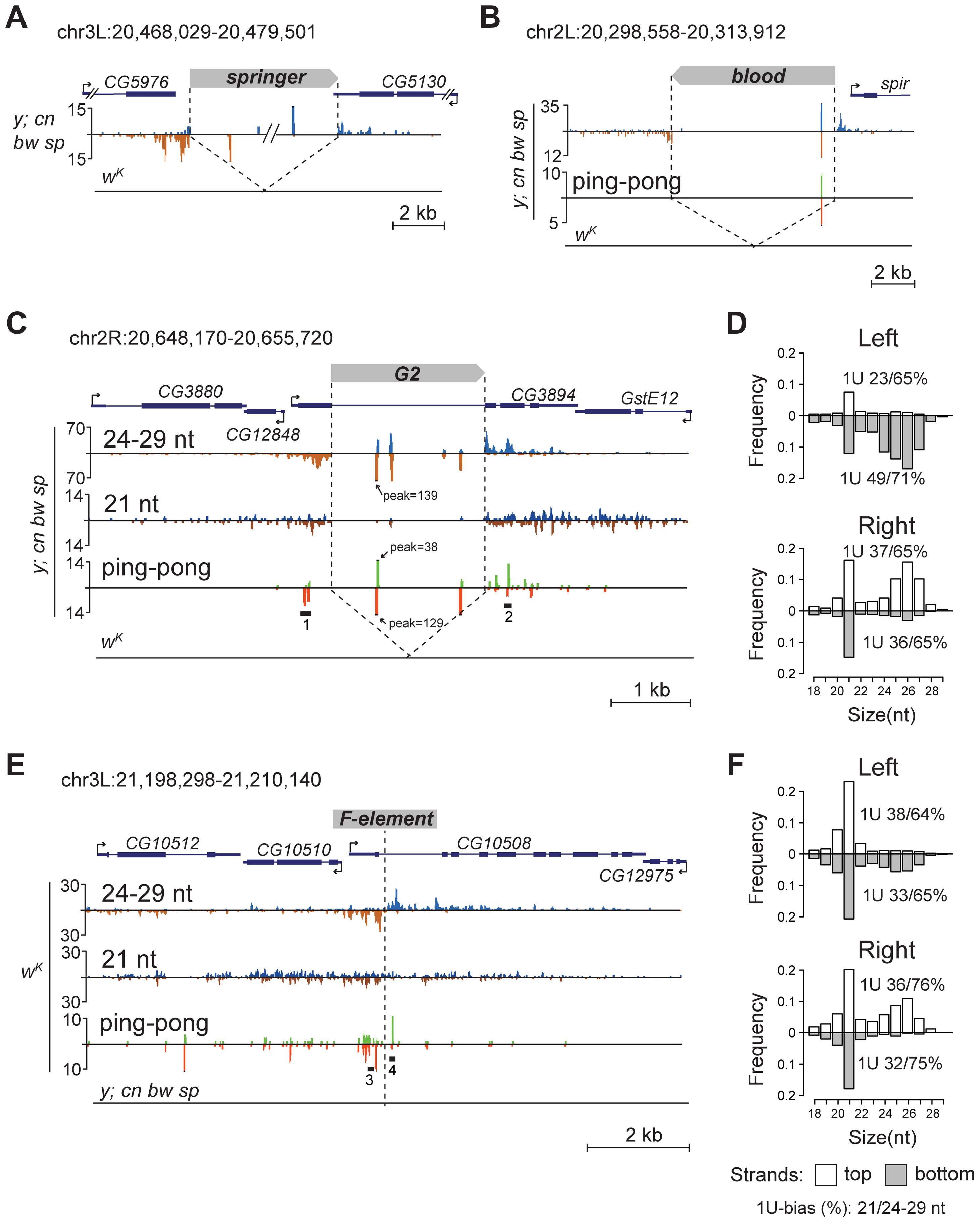 TE insertions generate double-stranded mixed pi- and endo-siRNA clusters in the germline.