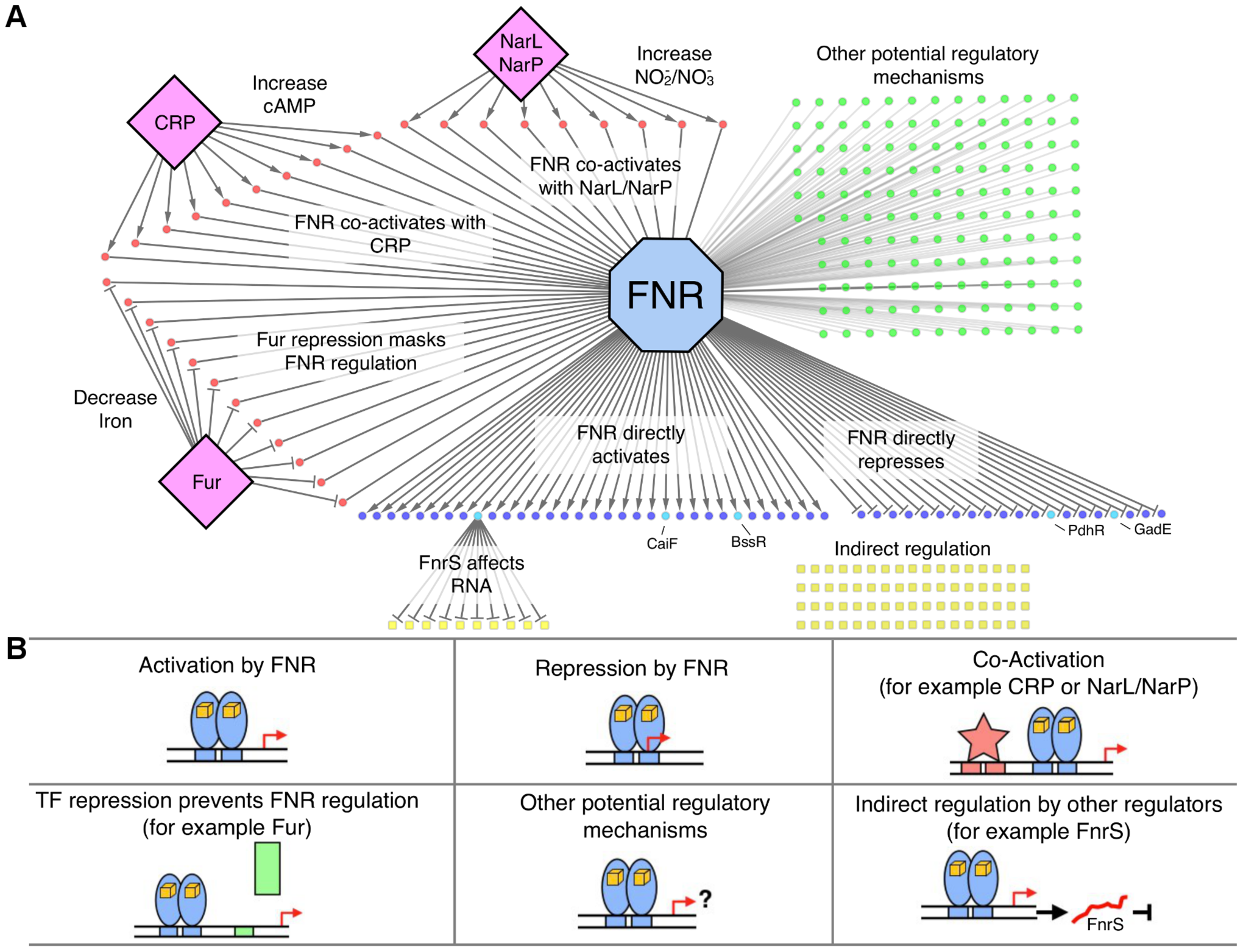 The FNR transcriptional network and categories of FNR regulation.