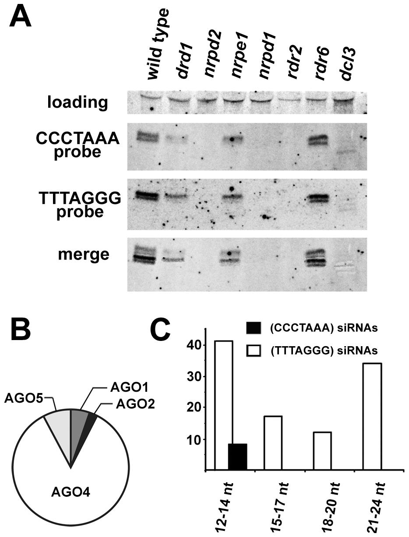 Detection of telomeric siRNAs.