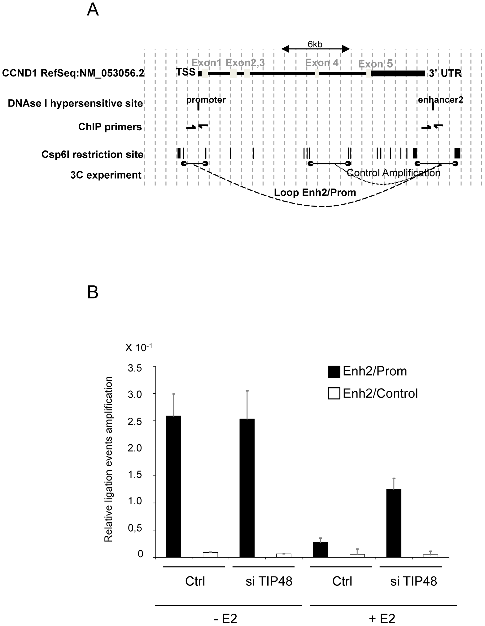 Release of <i>CCND1</i> gene looping requires TIP48.