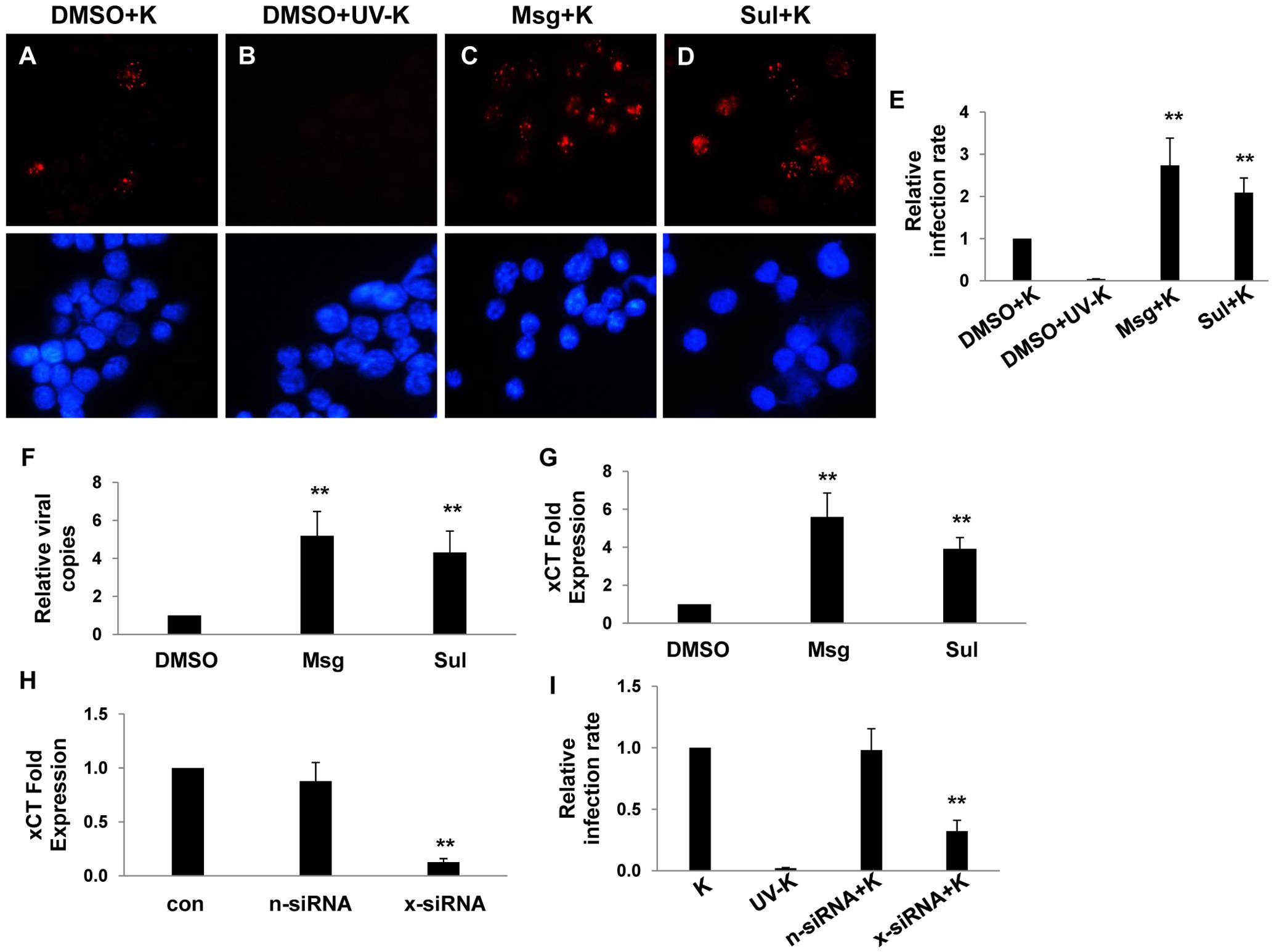 xCT mediates KSHV infection of macrophages.