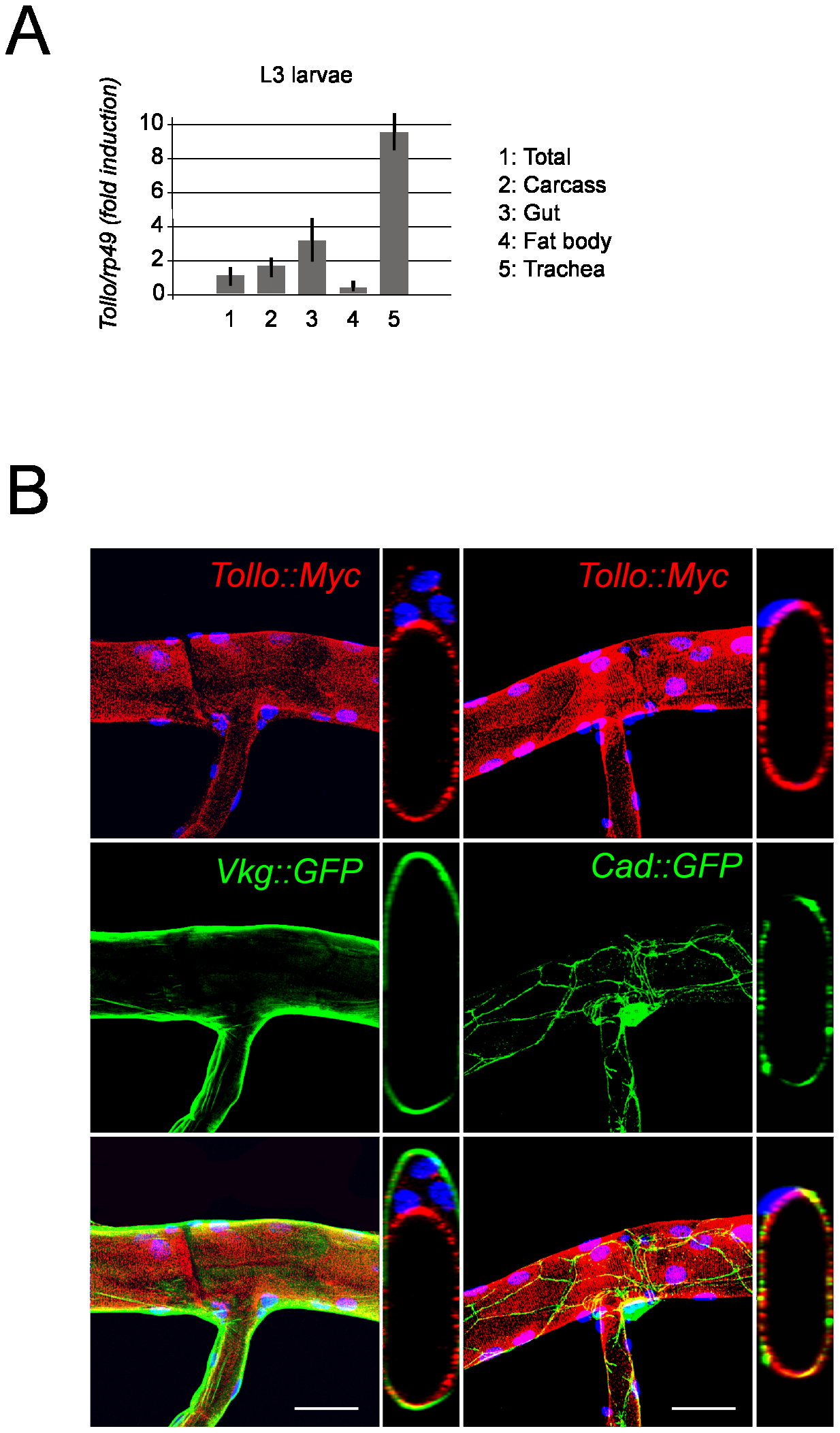 Apical localization of Tollo protein in tracheal cells.
