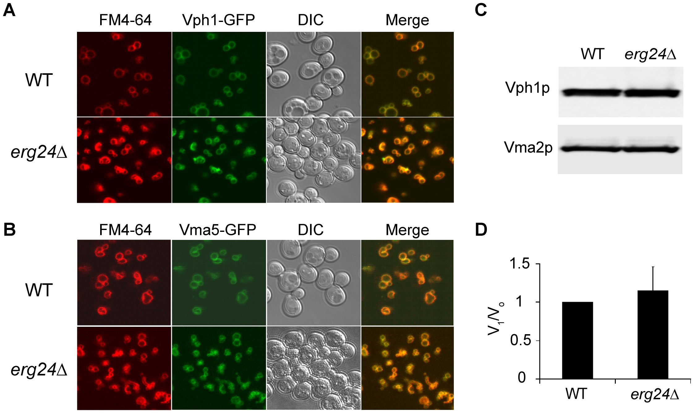 Expression and localization of V-ATPase in <i>erg24Δ</i>.
