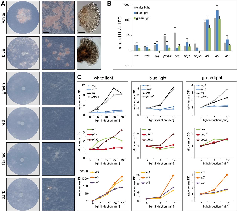 Fruiting body development and gene expression under different light regimes.
