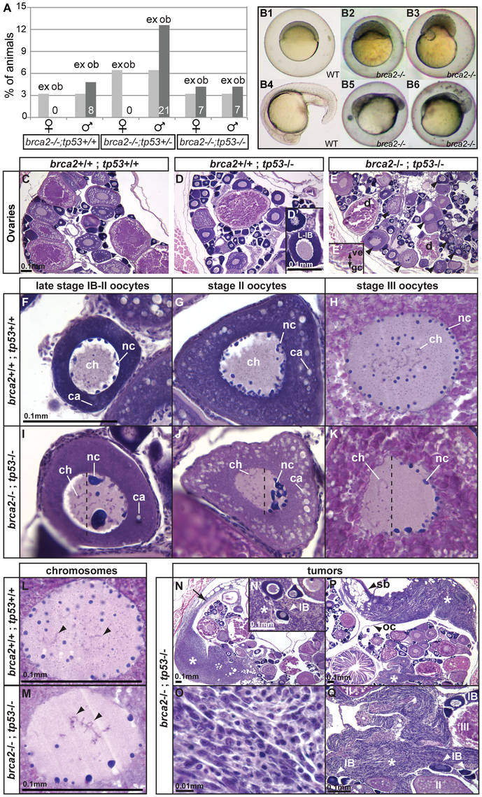 Mutation of <i>tp53</i> rescued the <i>brca2</i> sex reversal phenotype, yielding infertile double-mutant females that produced ovaries containing oocytes with altered nuclear architecture that developed into defective embryos and that produced invasive ovarian tumors.
