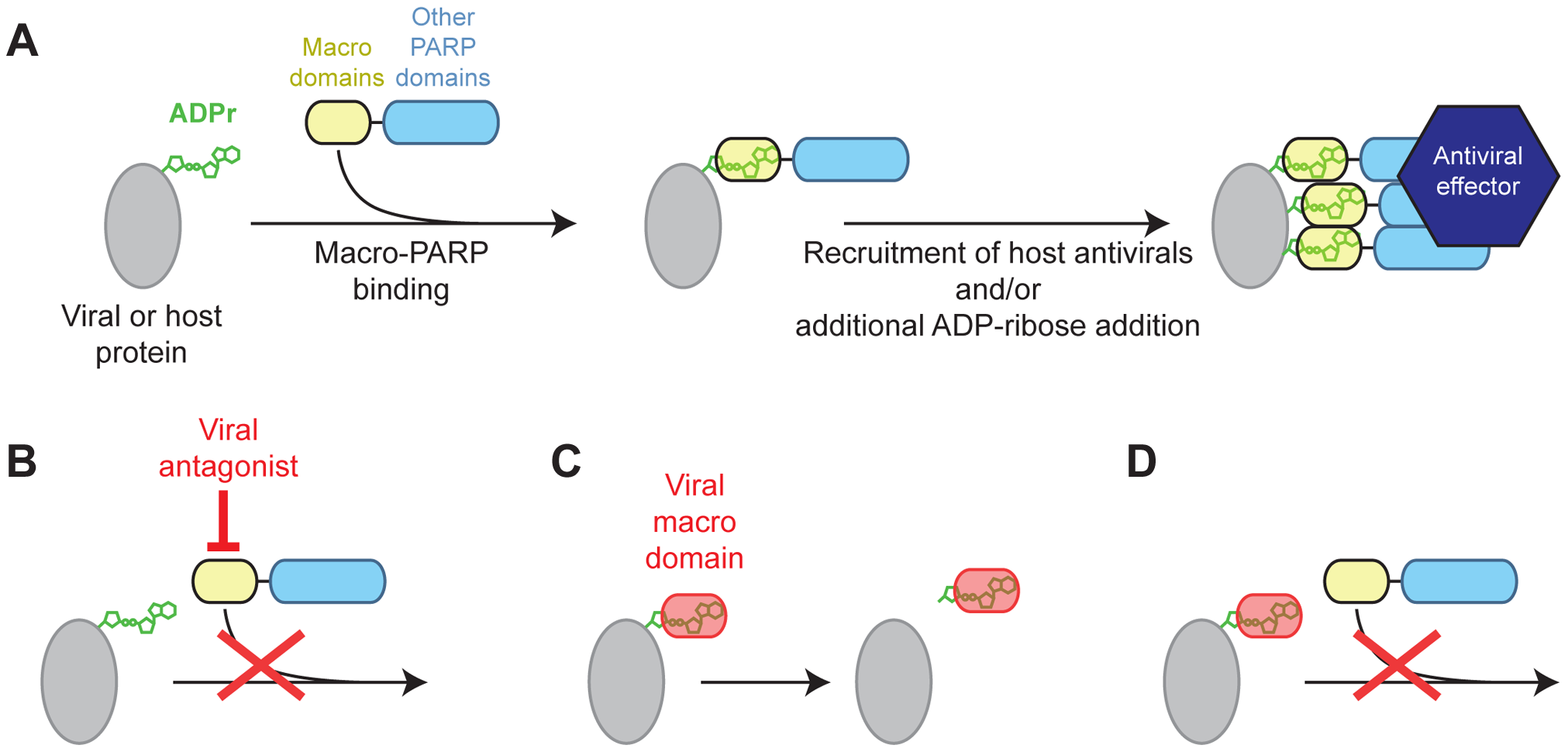Model for genetic conflict involving PARP macrodomains.