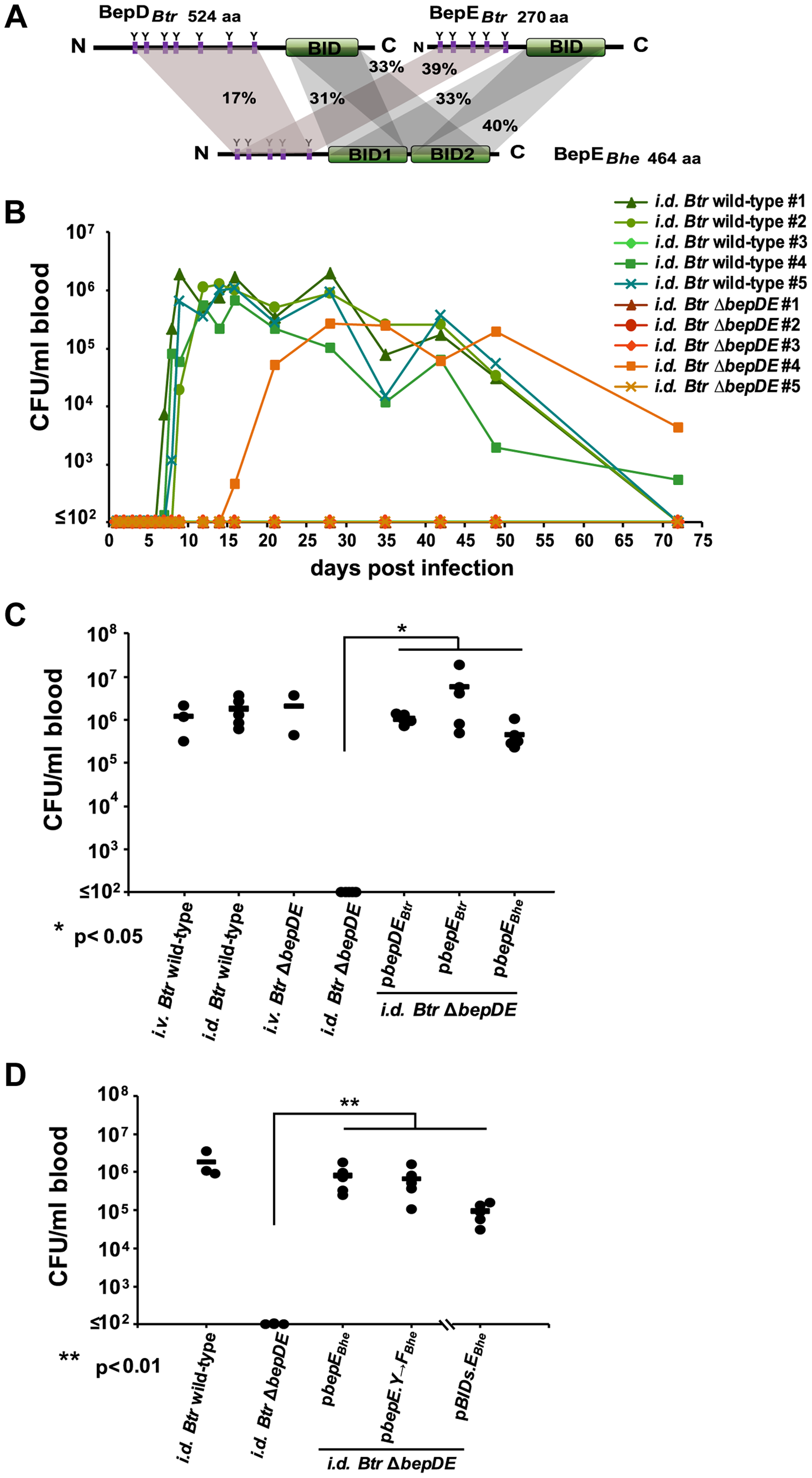 BepE is essential for <i>Bartonella tribocorum</i> (<i>Btr</i>) to establish bacteremia after <i>intradermal</i> (<i>i.d.</i>) infection of the rat reservoir host.