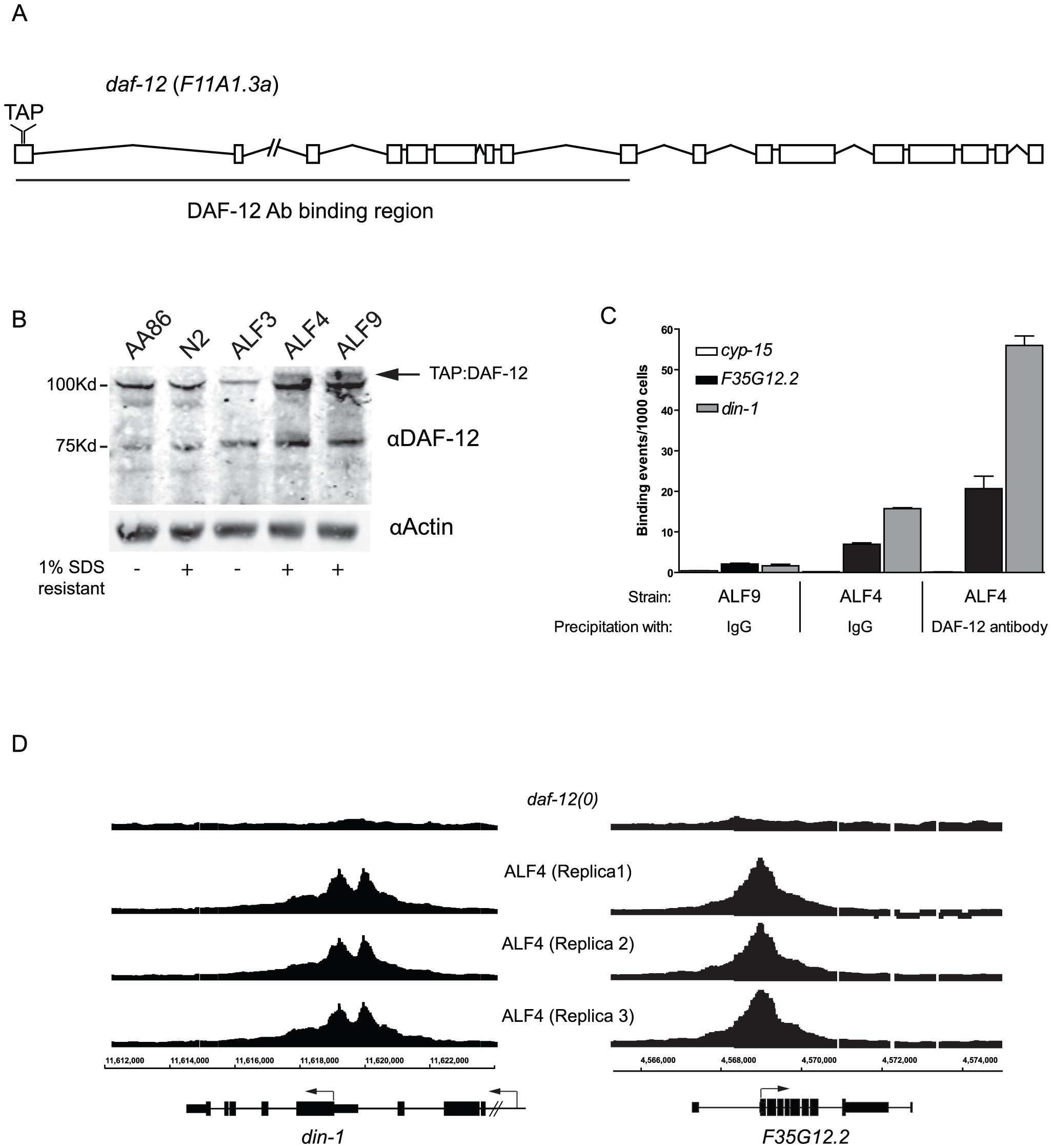 Generation of DAF-12 transgenic worms.