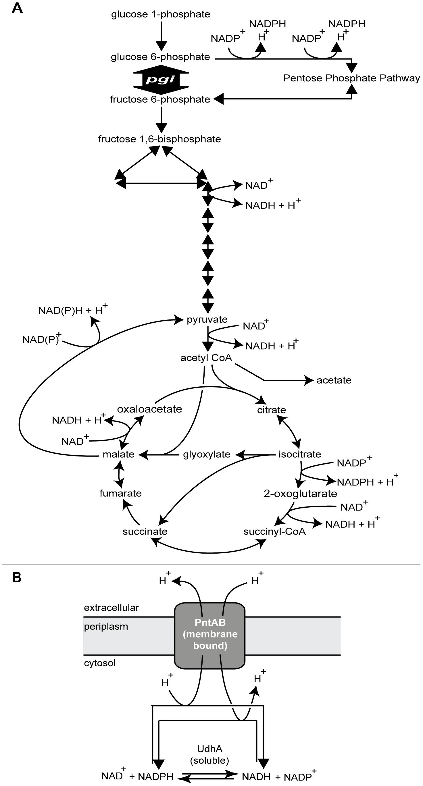 Role of <i>pgi</i>, <i>udhA</i>, and <i>pntAB</i> in cellular metabolism.