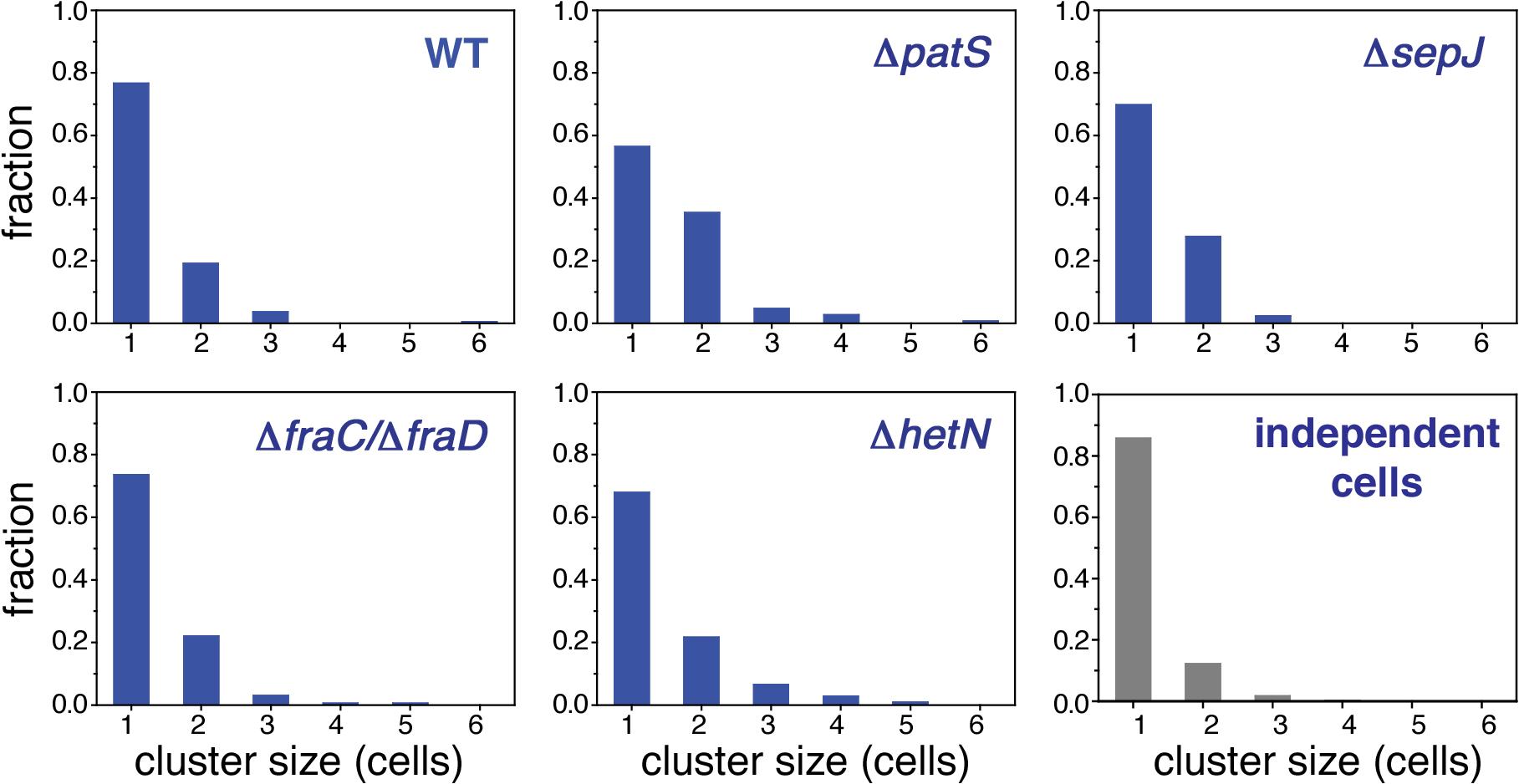 Higher order correlations of <i>hetR-gfp</i> expression along filaments.