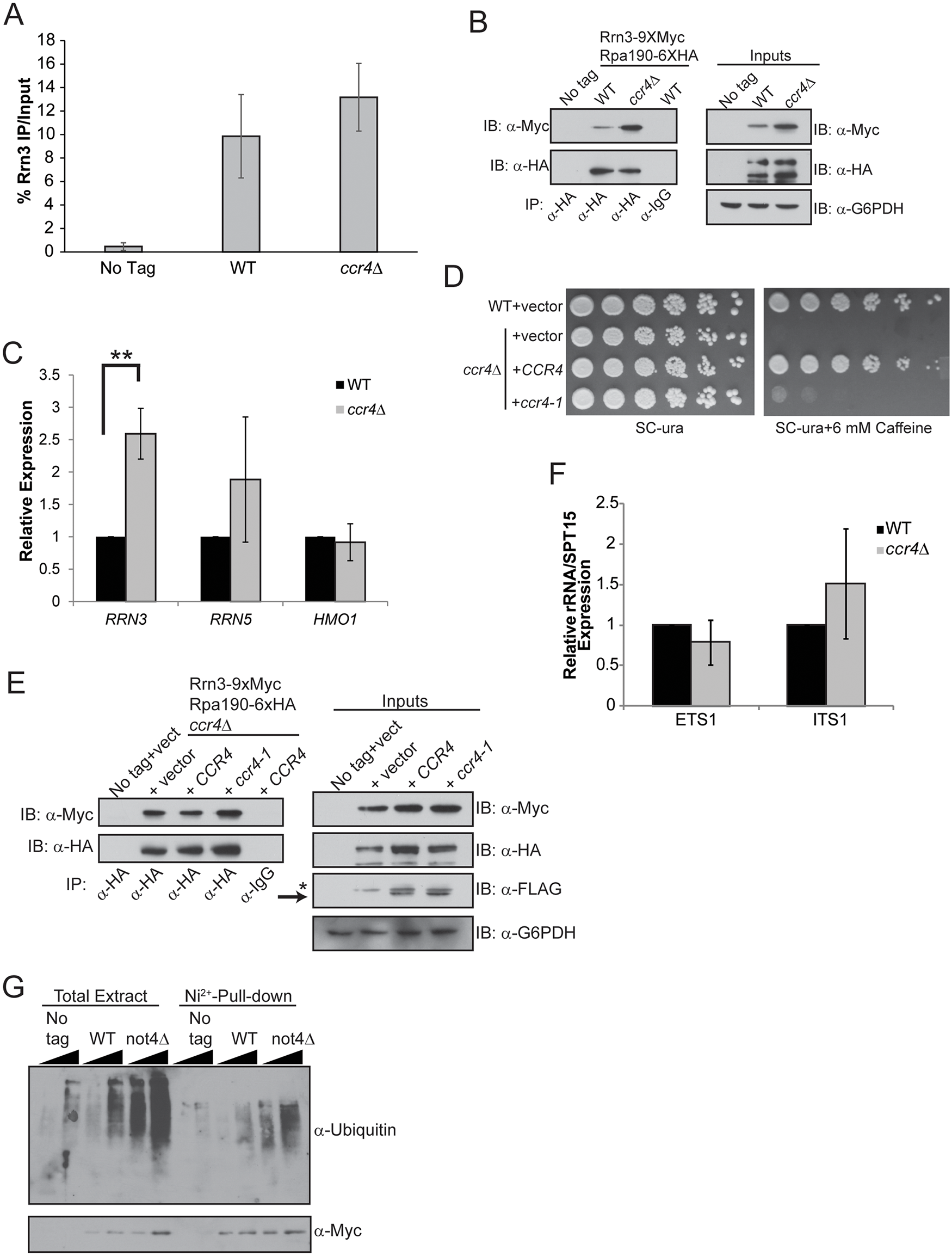 Loss of Ccr4-Not function disrupts regulation of Rrn3-Pol I complex formation.