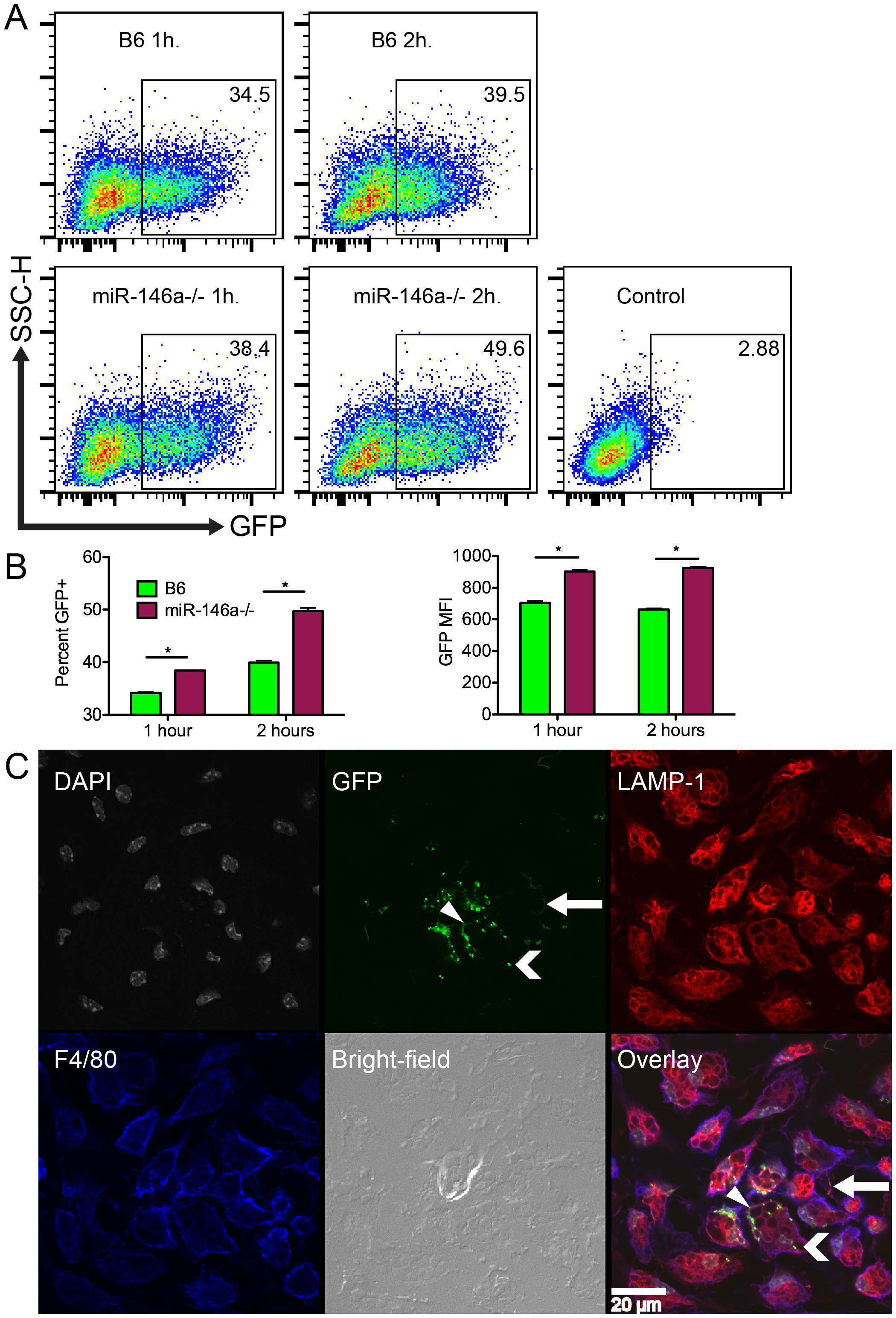 B6 miR-146a<sup>−/−</sup> peritoneal macrophages exhibit increased phagocytic activity.