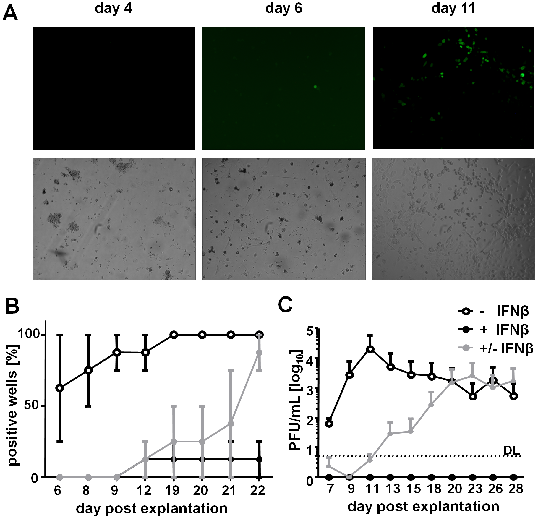 IFNβ represses MCMV reactivation from <i>in vivo</i> infected LSECs.