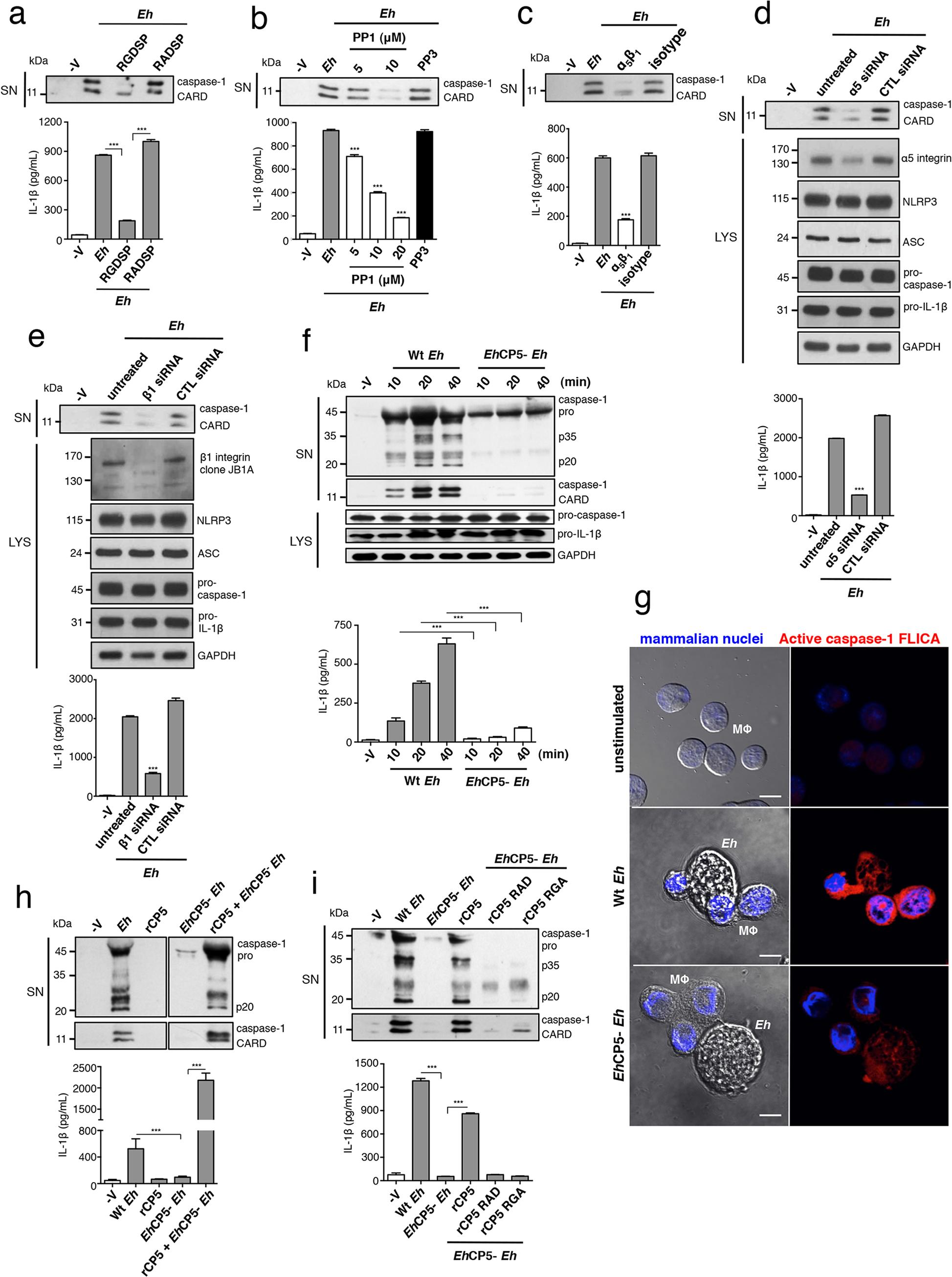 α<sub>5</sub>β<sub>1</sub> integrin activation and <i>Eh</i>CP5 are required for <i>E</i>. <i>histolytica</i> (<i>Eh</i>) to activate the NLRP3 inflammasome.