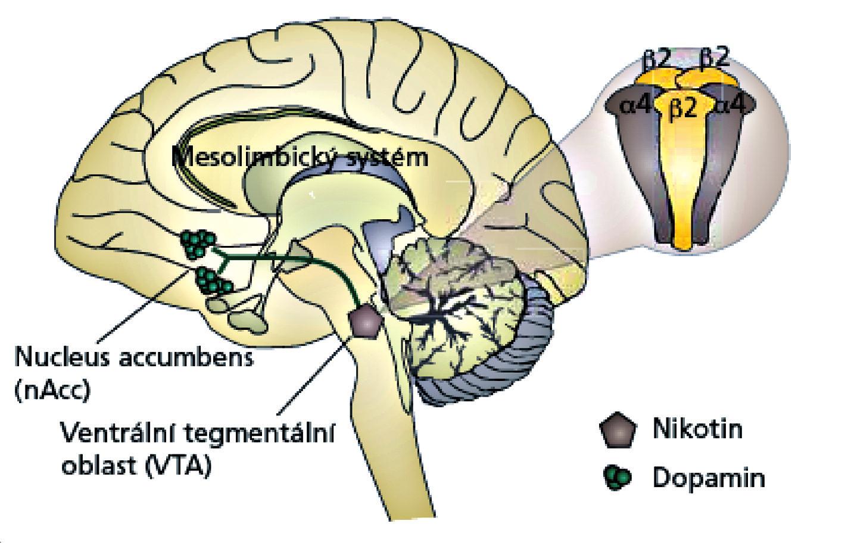 Schéma umístění nikotin – acetylcholinových receptorů v mozku