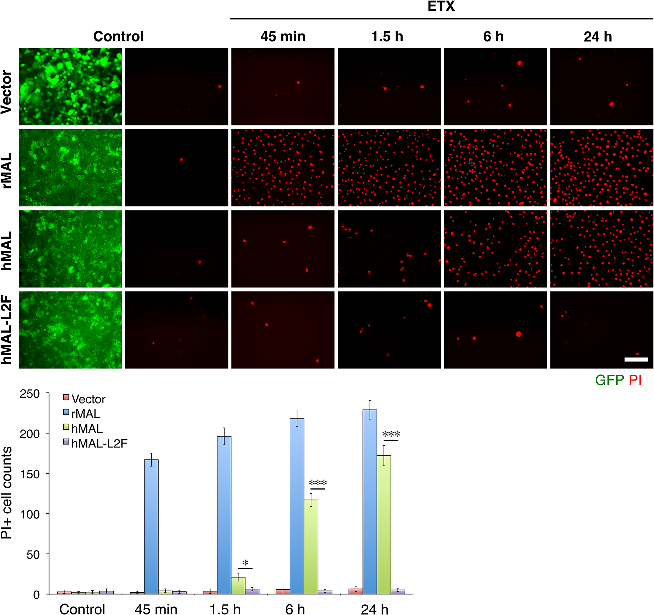 The second extracellular loop in MAL is critical to MAL-mediated ETX-cytoxicity.