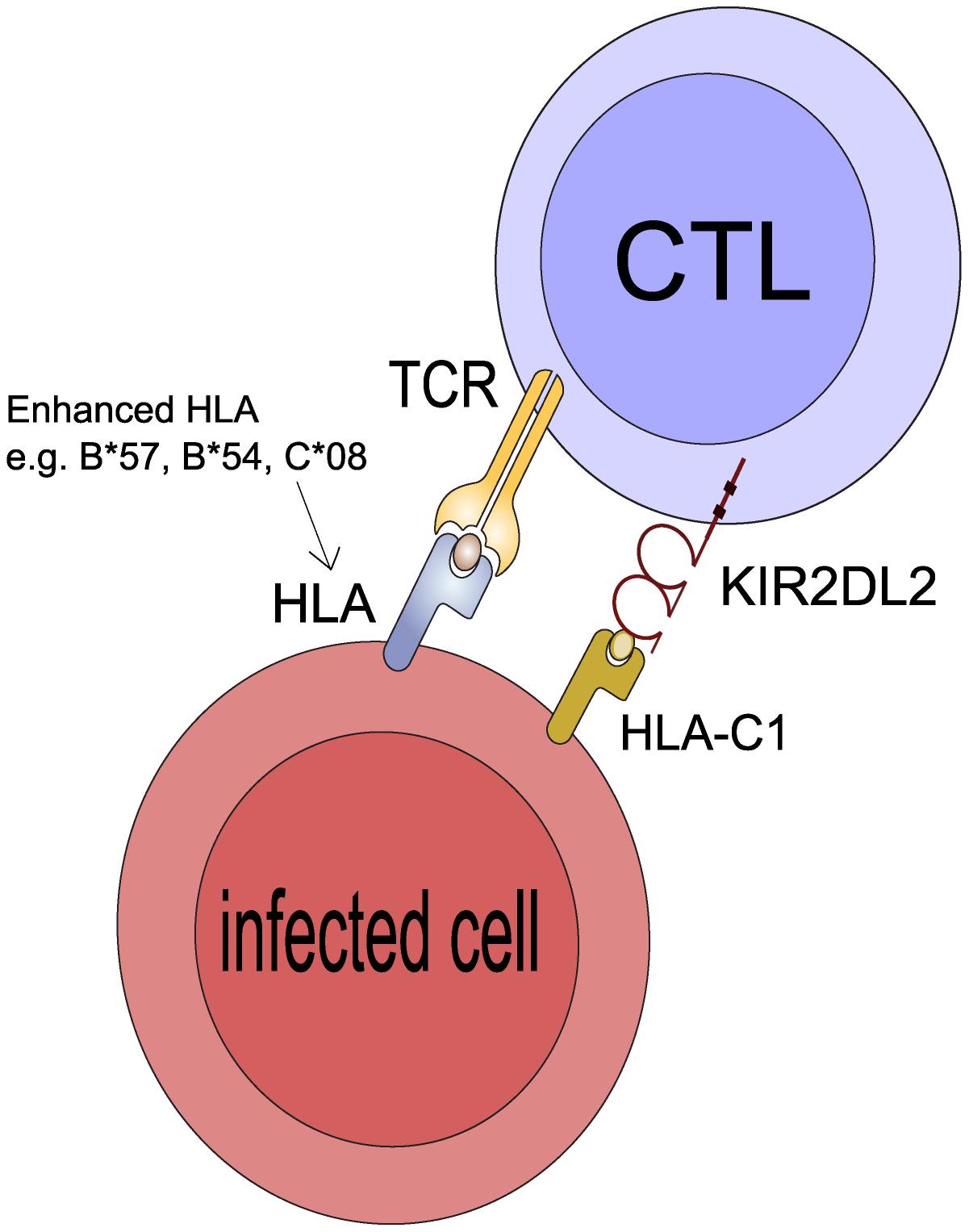 Postulated mechanism: KIR2DL2 reduces clonal exhaustion of CD8+ T cells and is necessary for an effective immune response in the face of chronic antigen stimulation.