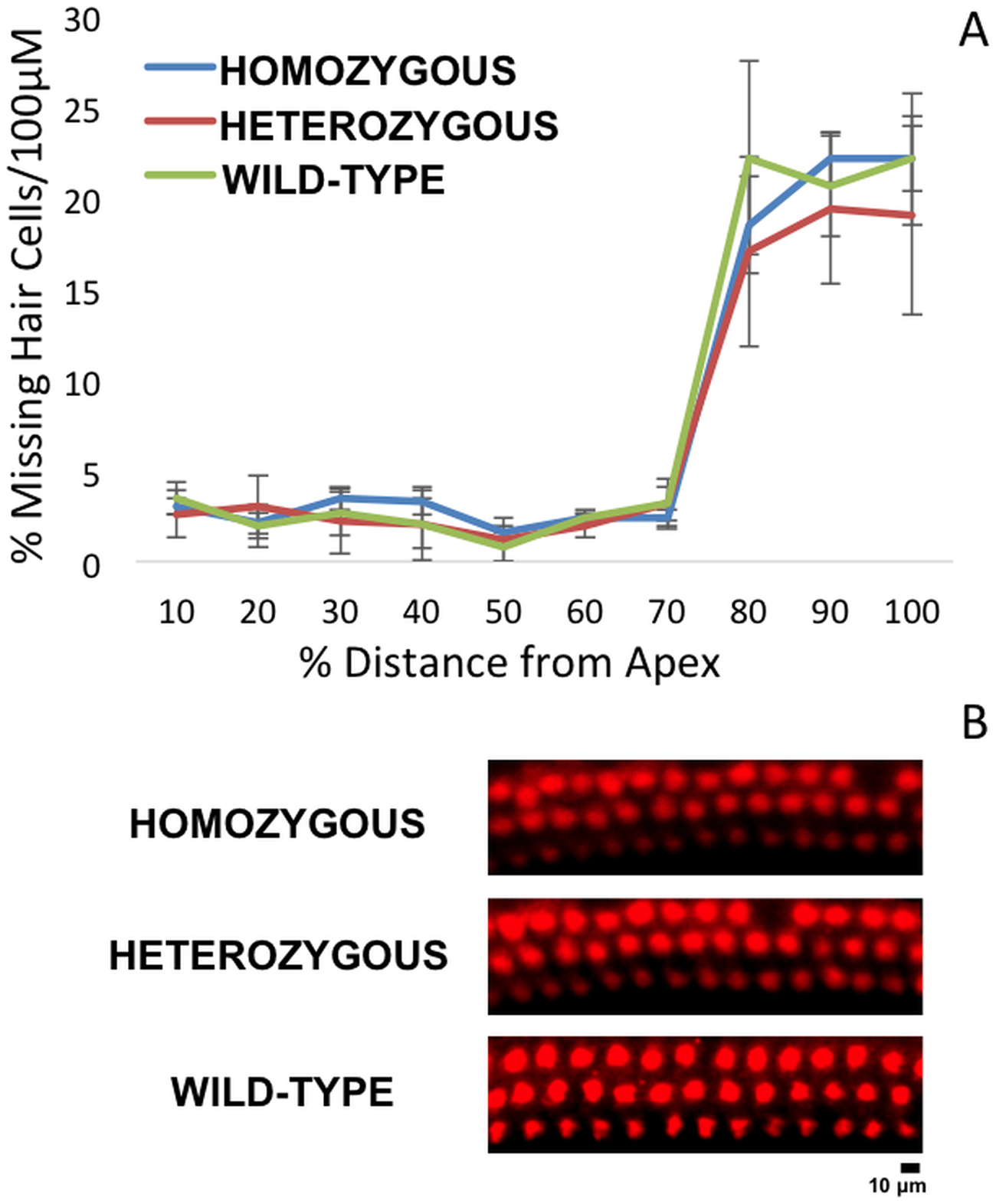 Cytocochleogram of wild-type and mutant <i>Nox3</i> mice (8A).