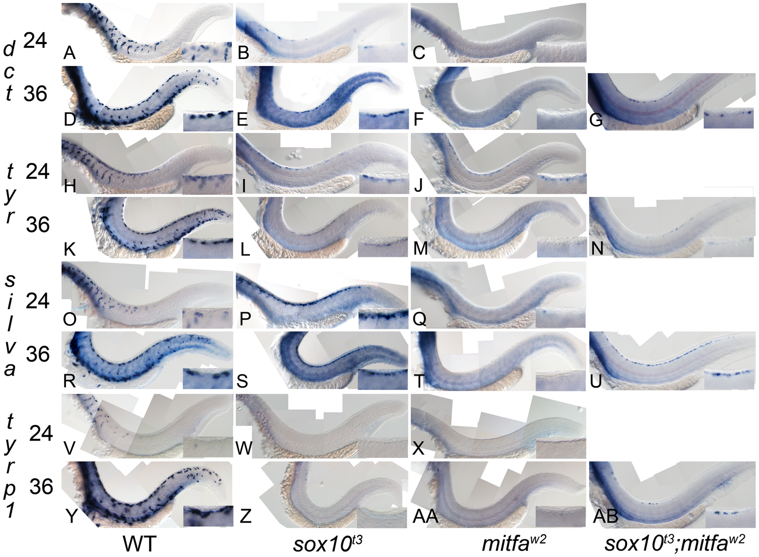 Residual melanocyte marker expression in <i>sox10</i>, <i>mitfa</i>, and <i>sox10;mitfa</i> mutants.