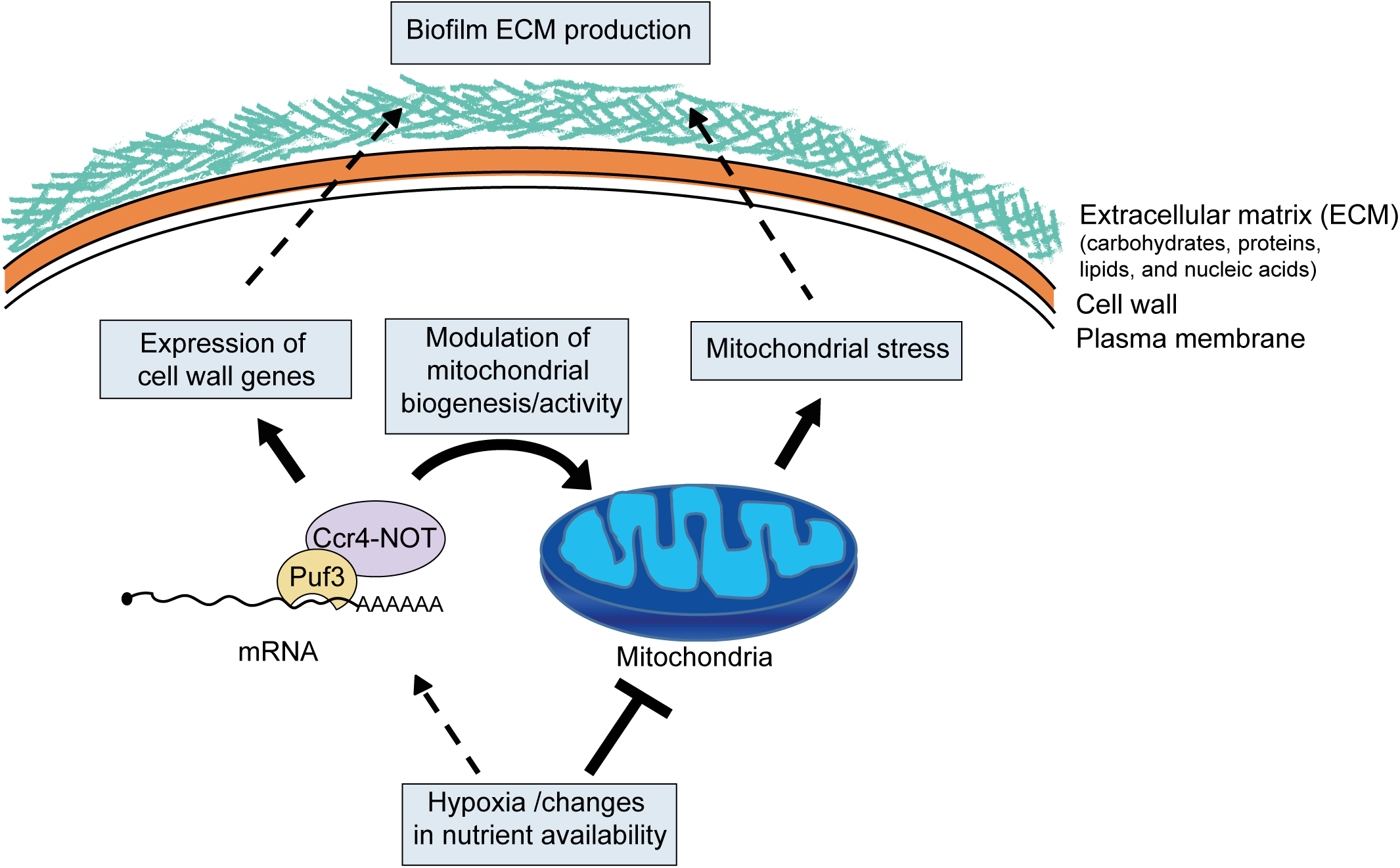 Model for the role of posttranscriptional gene regulation and mitochondrial activity in biofilm matrix production and stress protection.