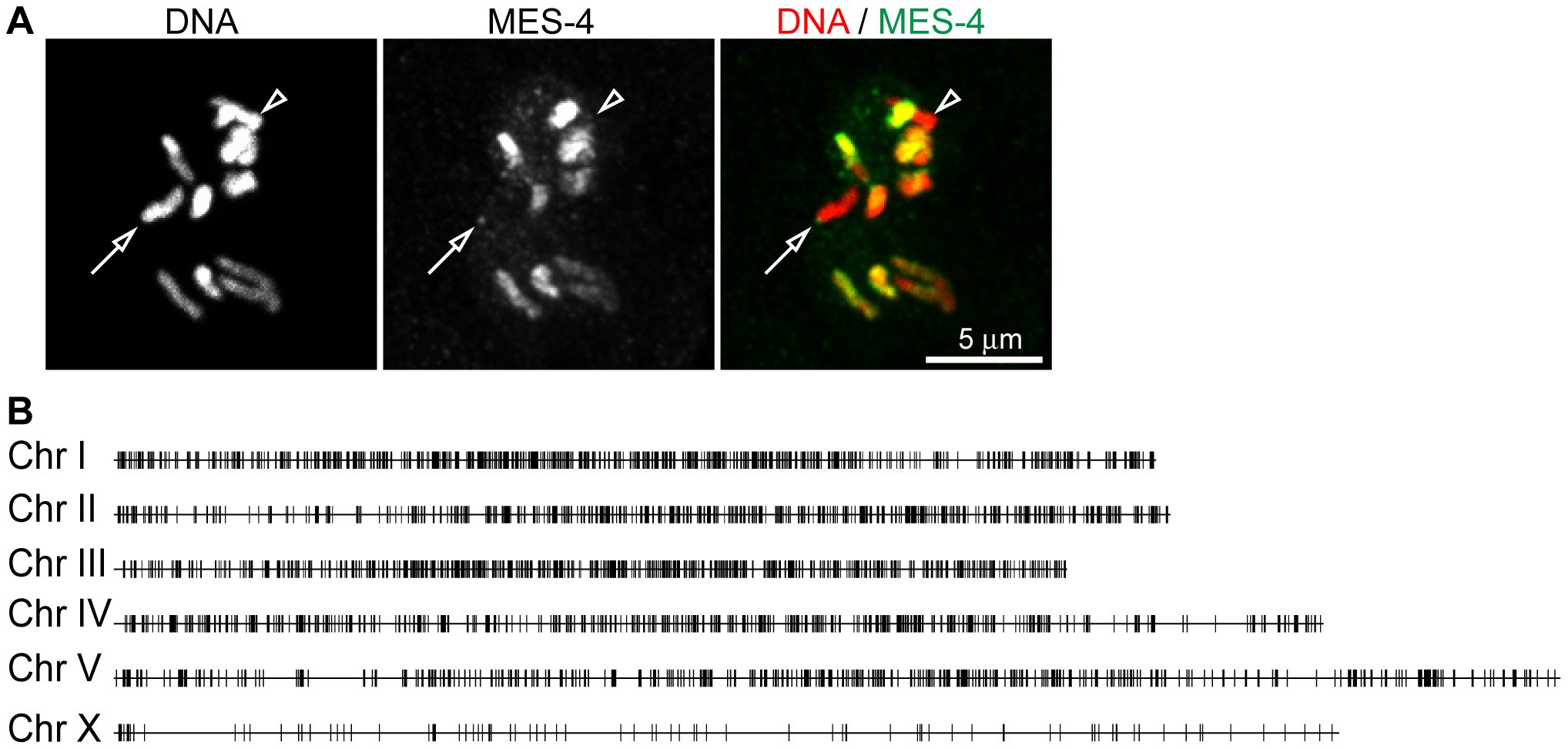 MES-4 is concentrated on the autosomes and the left tip of the X chromosome.